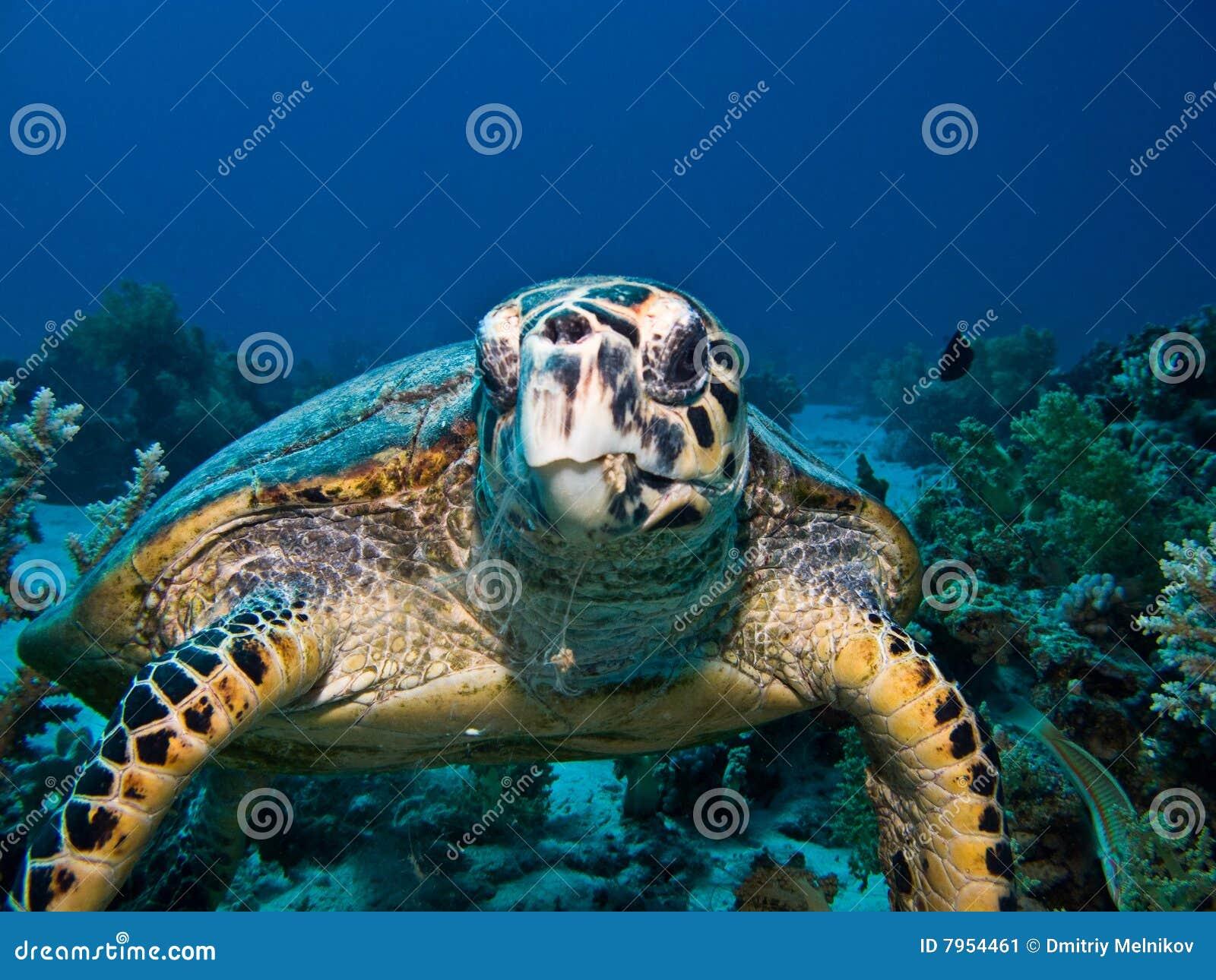 черепаха моря hawksbill