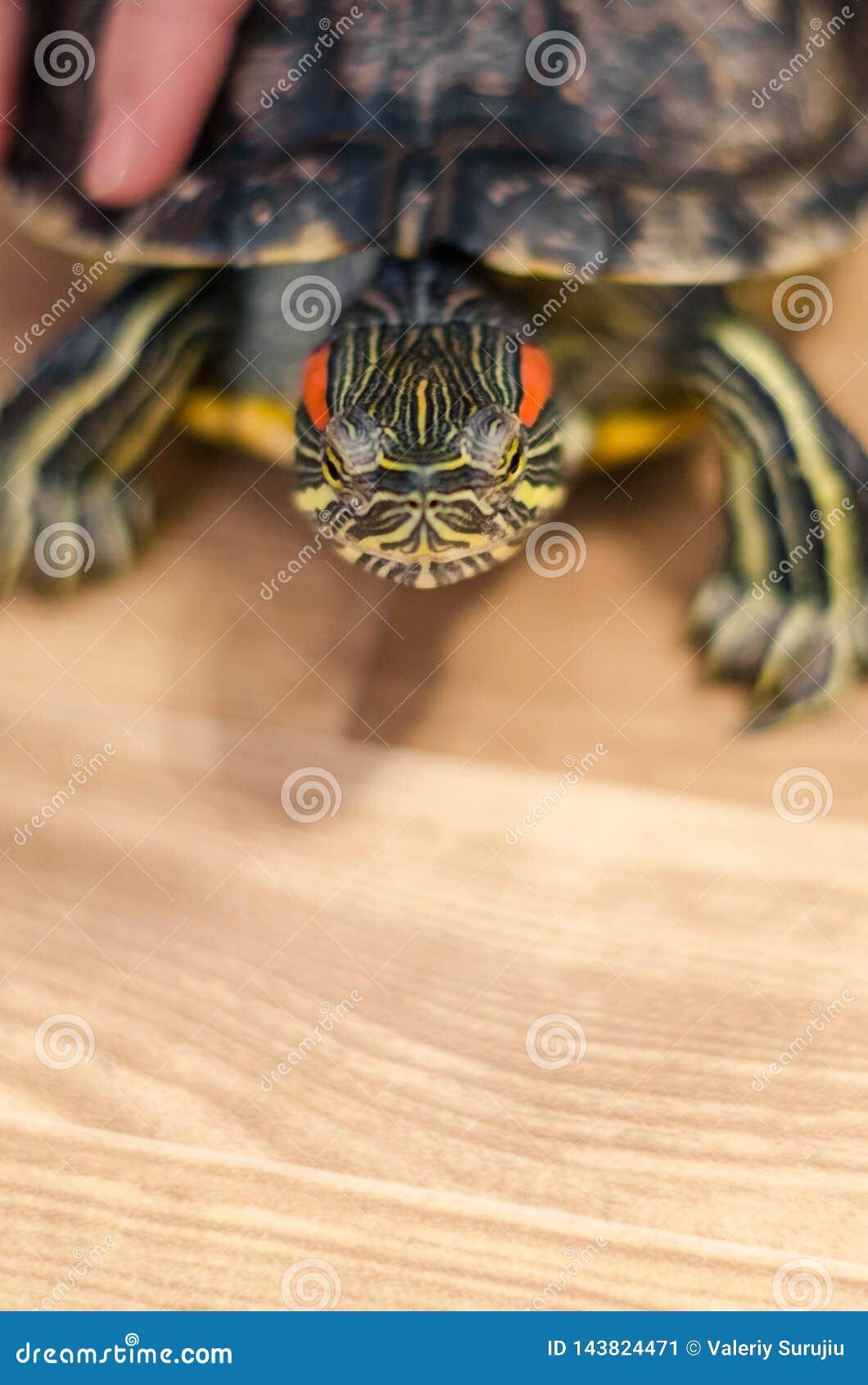 Черепаха на поле дома