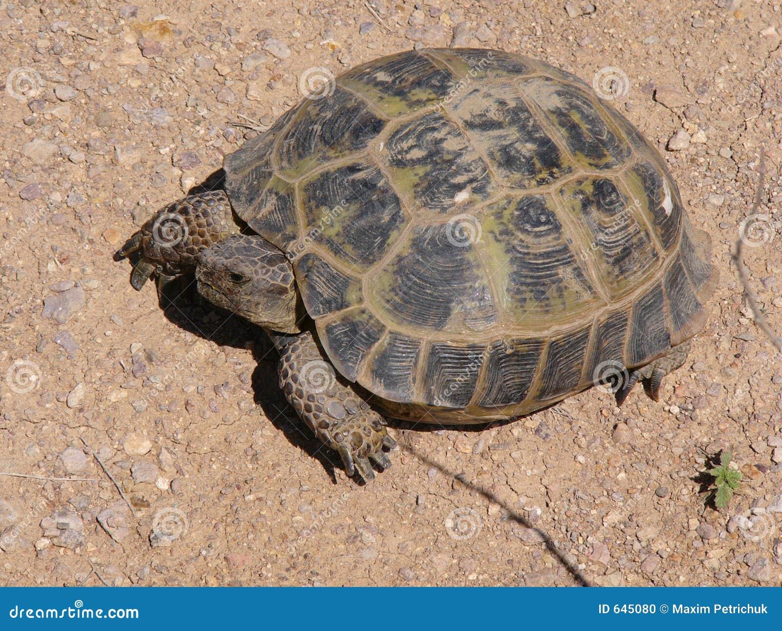Download черепаха стоковое фото. изображение насчитывающей жара - 645080