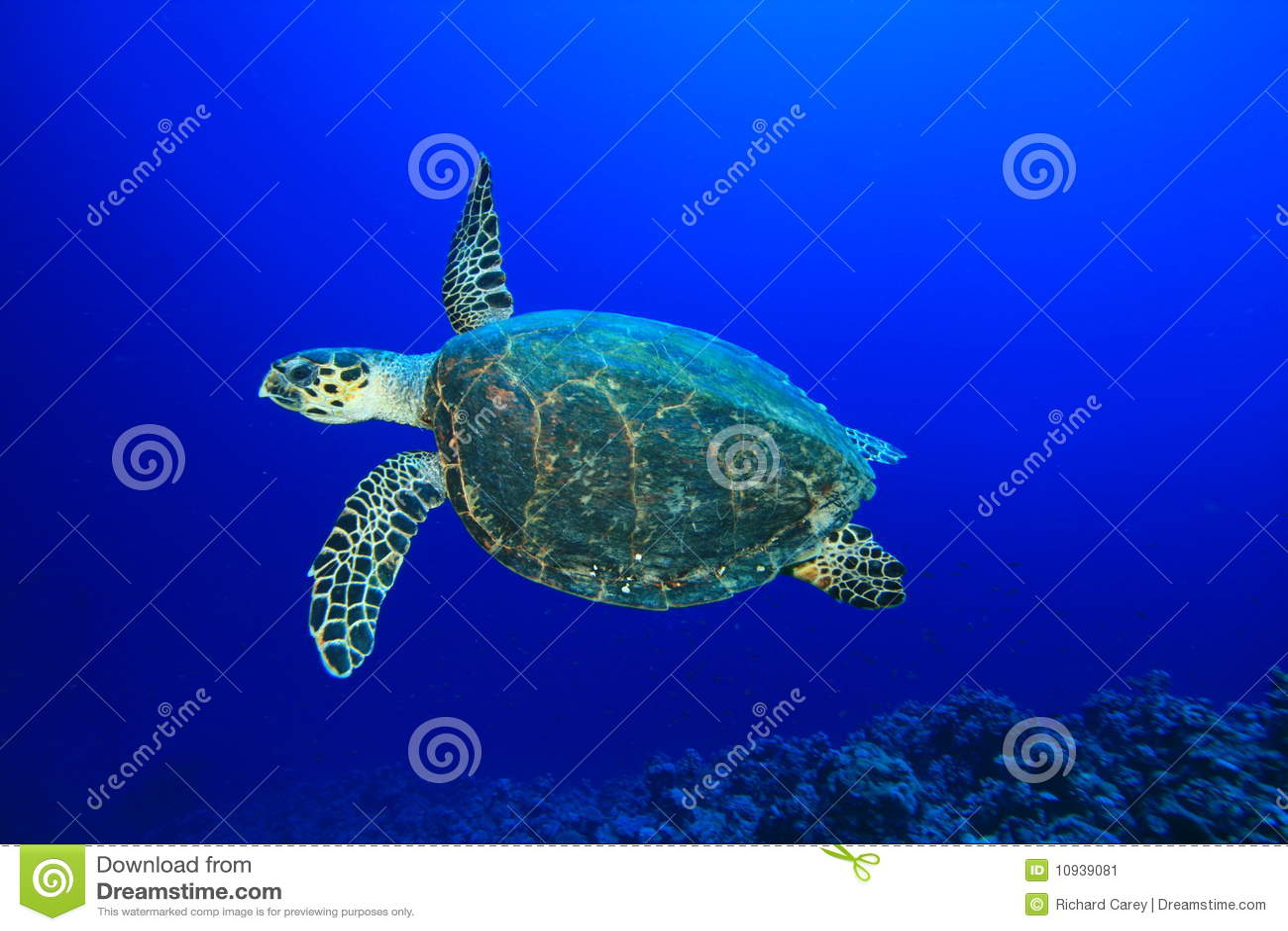 черепаха hawksbill