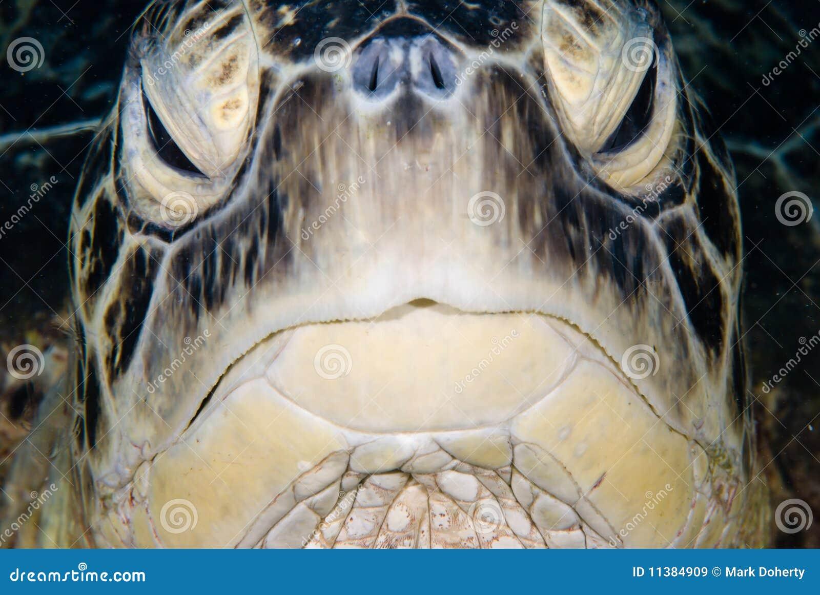 черепаха mydas chelonia зеленая мыжская