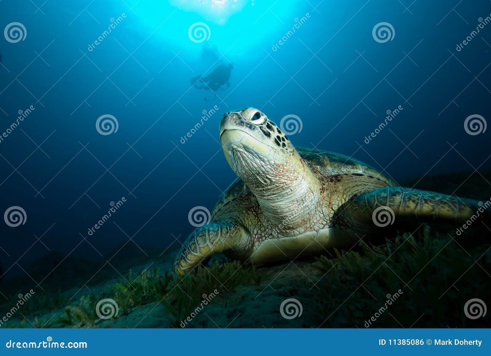 черепаха mydas chelonia зеленая