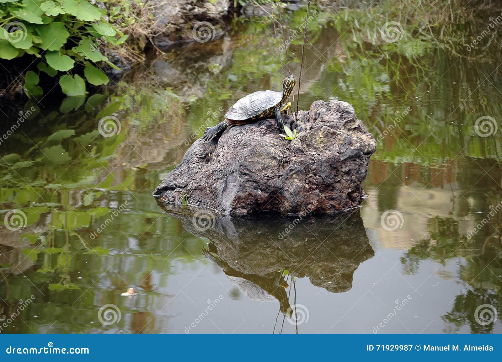 Черепаха Sunbathing