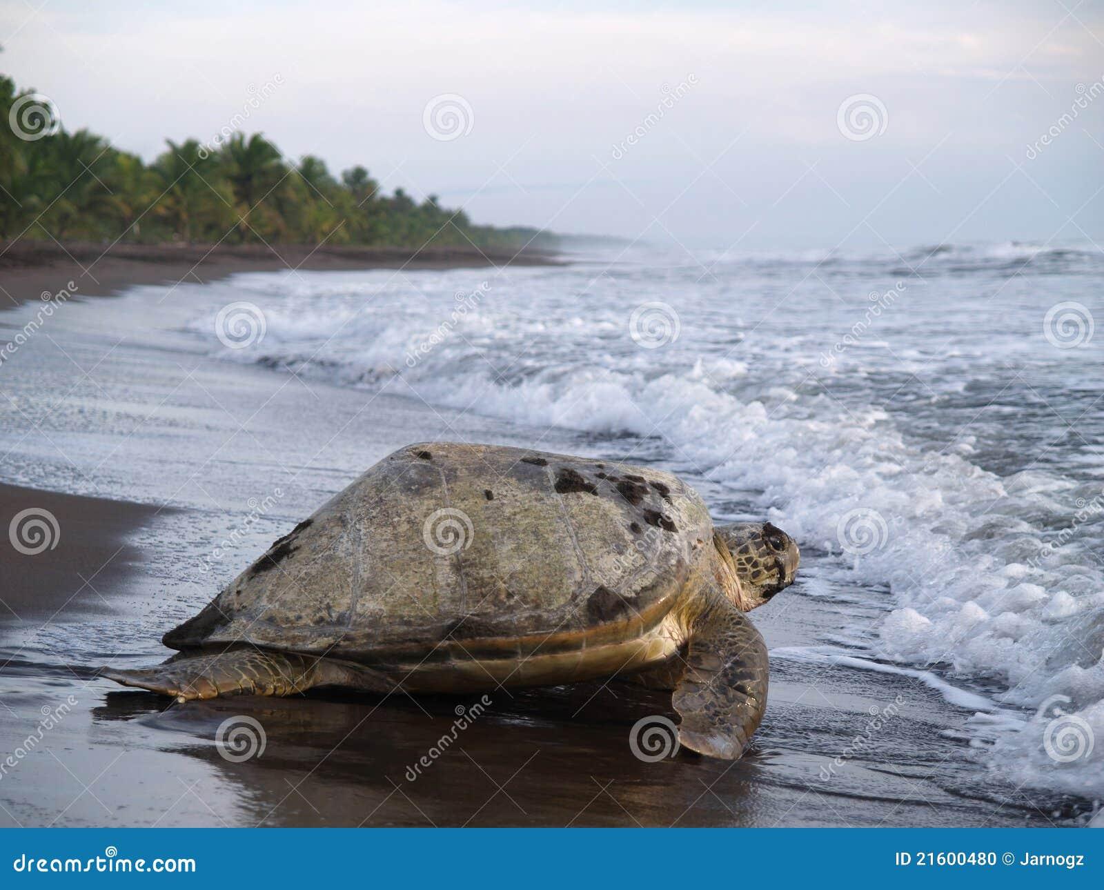 черепаха tortuguero моря rica национального парка Косты