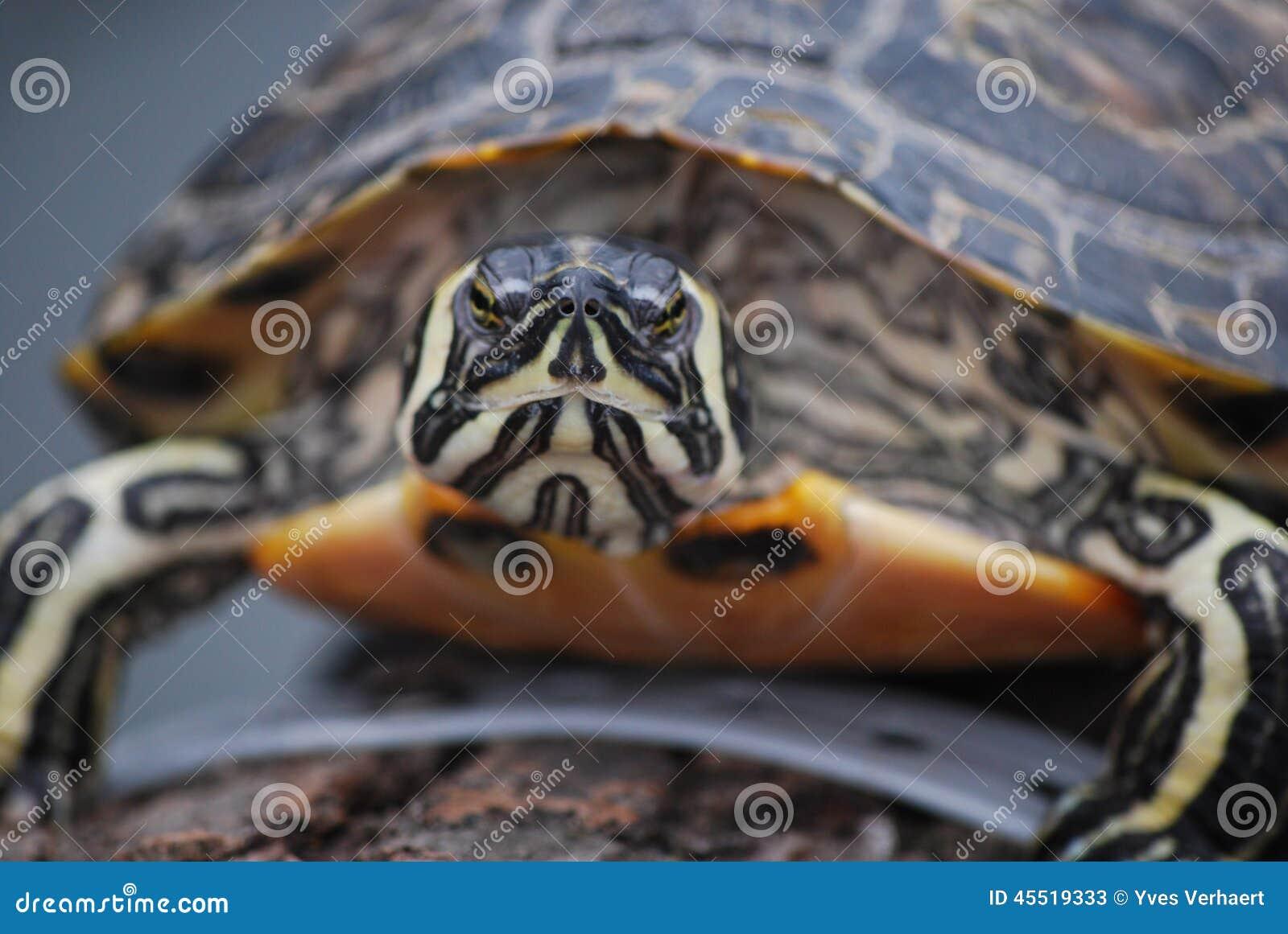 Черепахи в конце-вверх