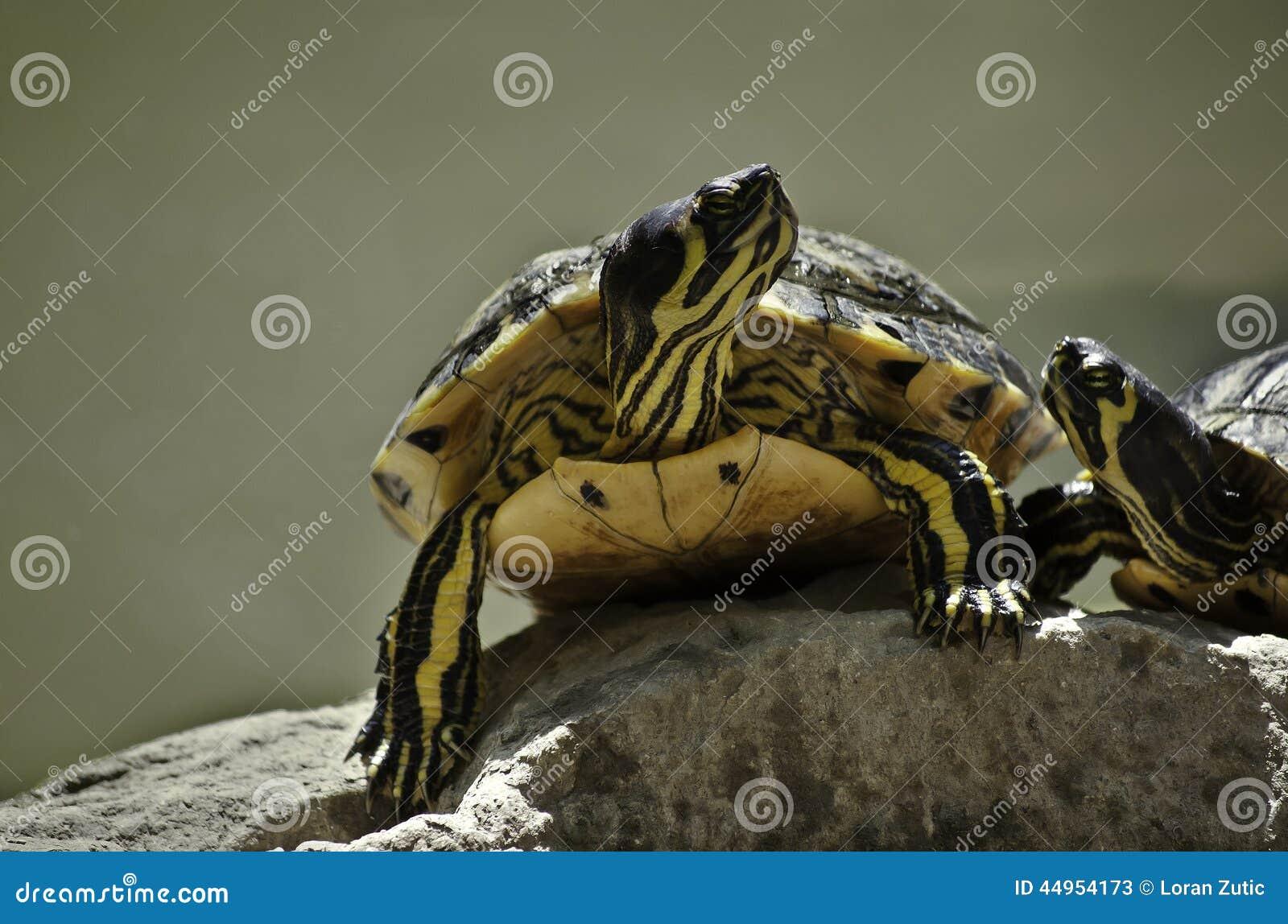 черепахи 2 влюбленности
