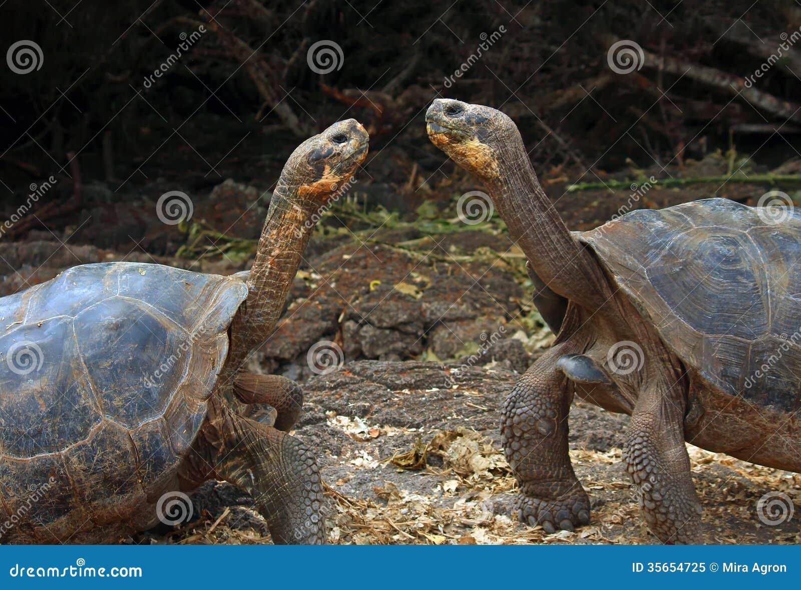 Черепахи Галапагос гигантские