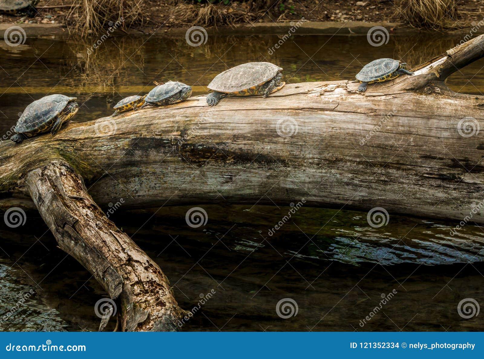 Черепахи на стволе дерева около воды