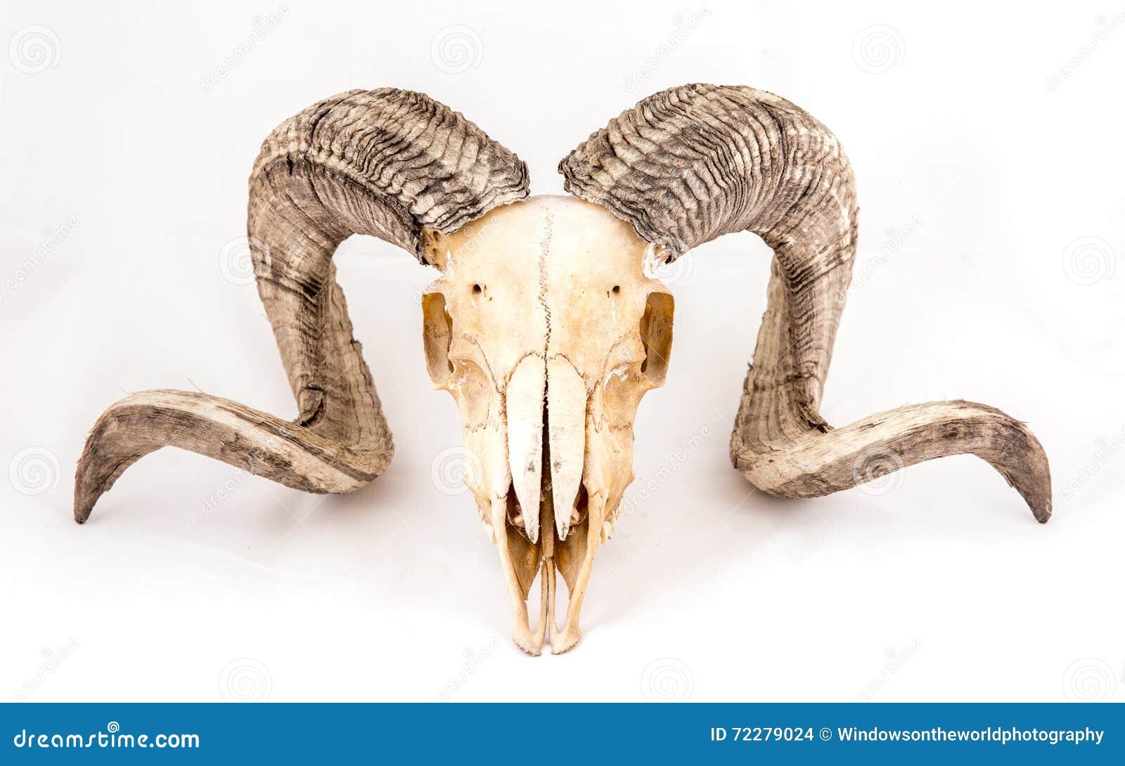 Download Череп овец Arapawa на белизне Стоковое Фото - изображение насчитывающей halloween, бело: 72279024