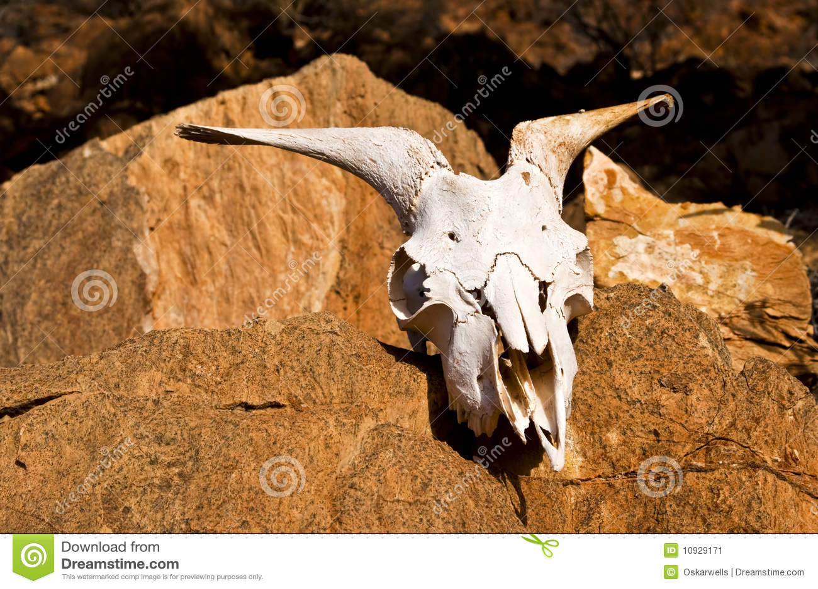 череп пустыни