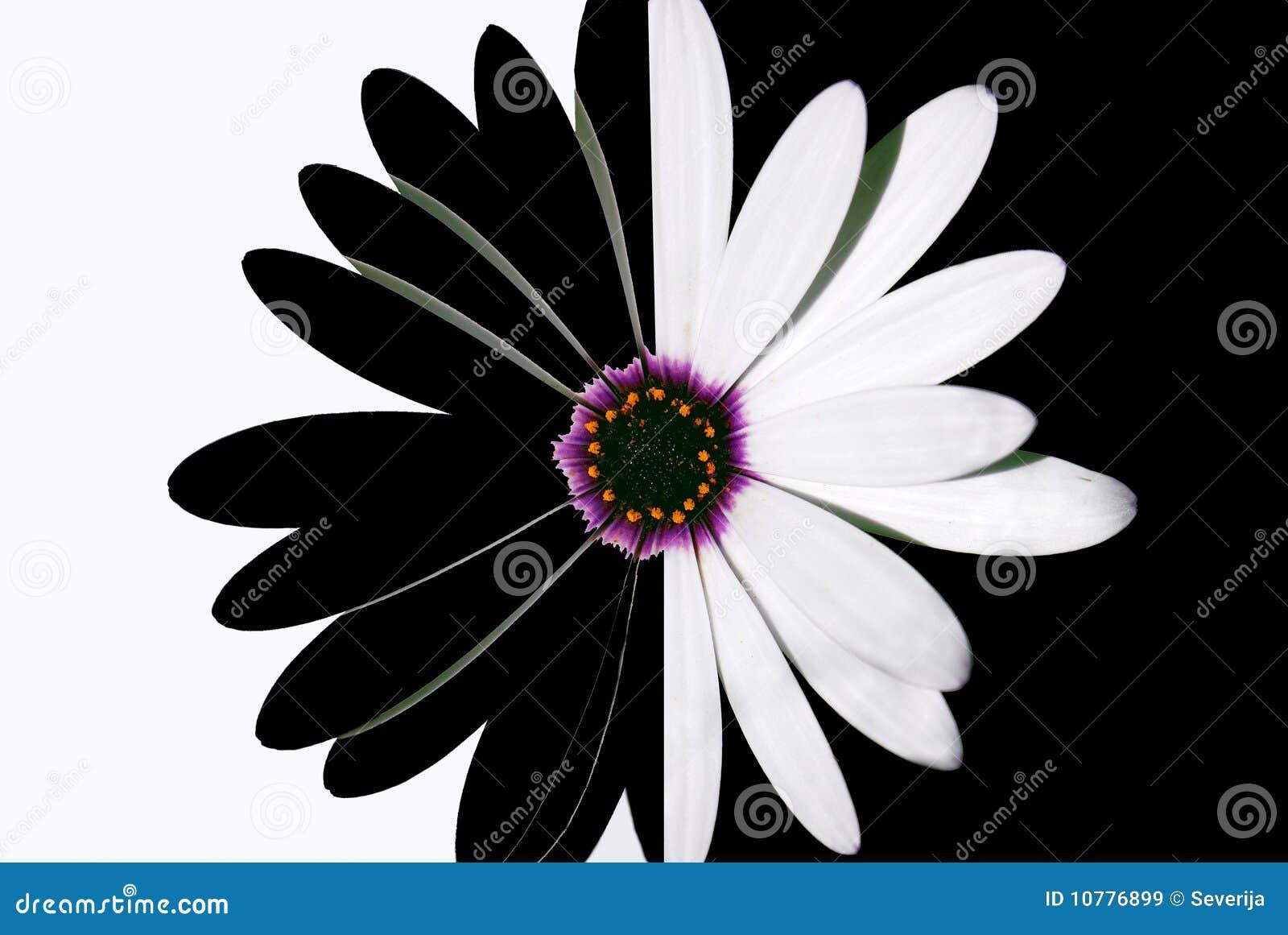 черная белизна цветка
