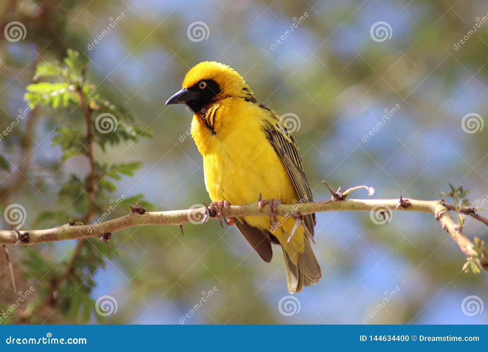 Черная возглавленная птица ткача в дереве