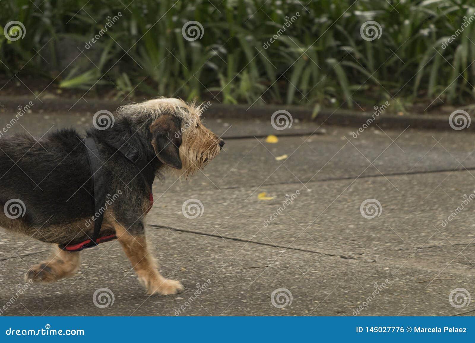 Черная волосатая собака идя самостоятельно