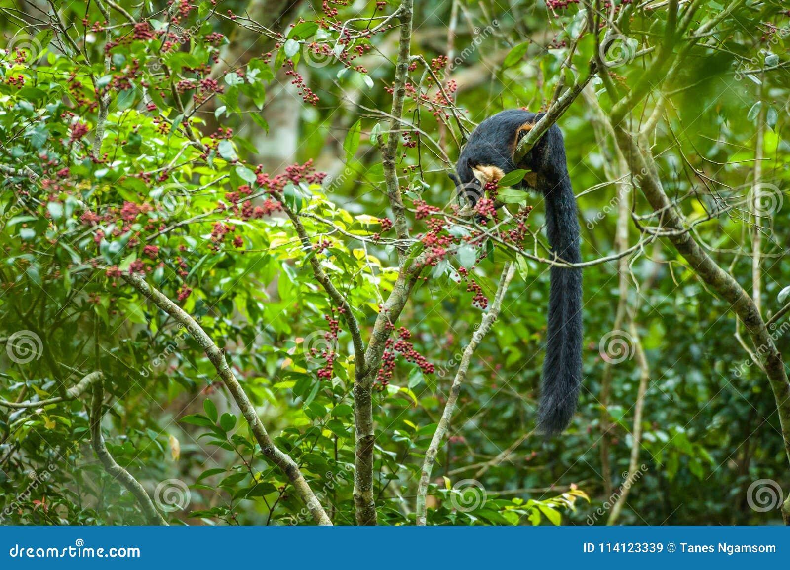 Черная гигантская белка наслаждается съесть одичалый плодоовощ зрела