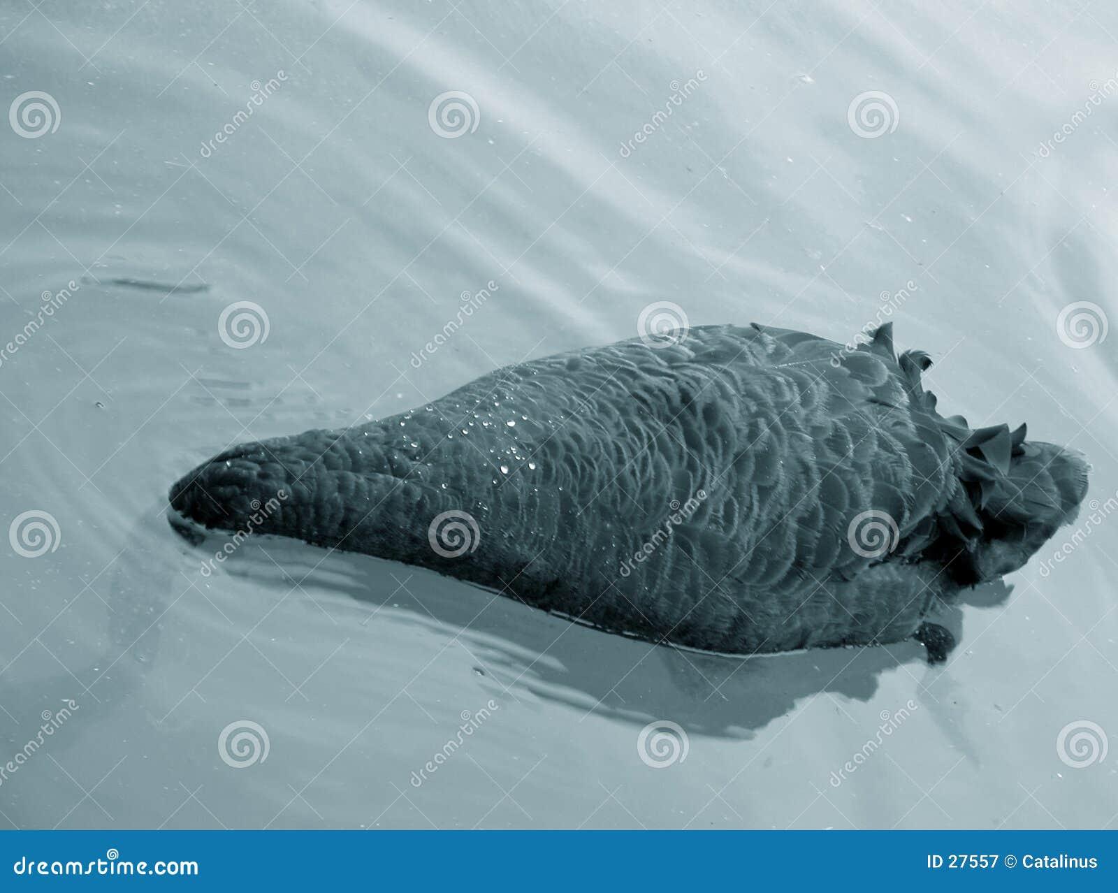 черная еда ища лебедя