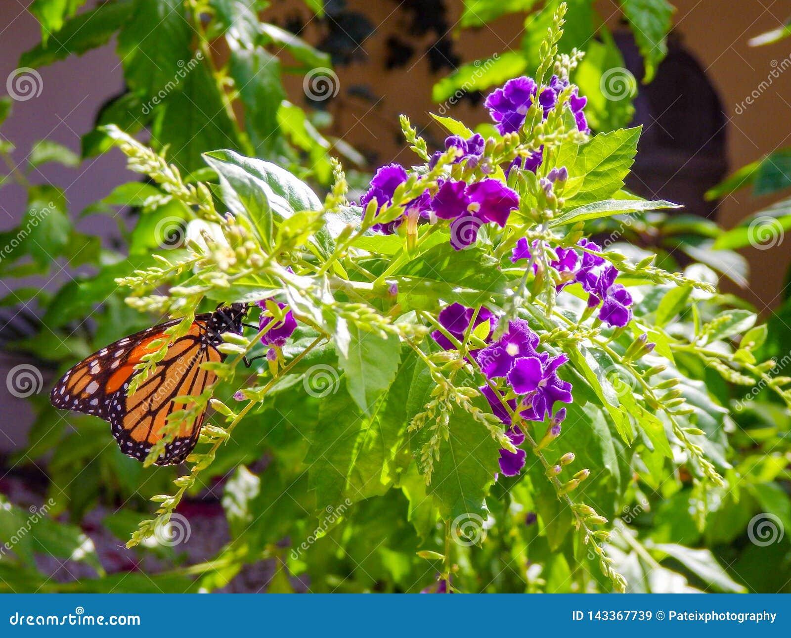 Черная и оранжевая бабочка монарха питаясь на пурпурном цветке Duranta