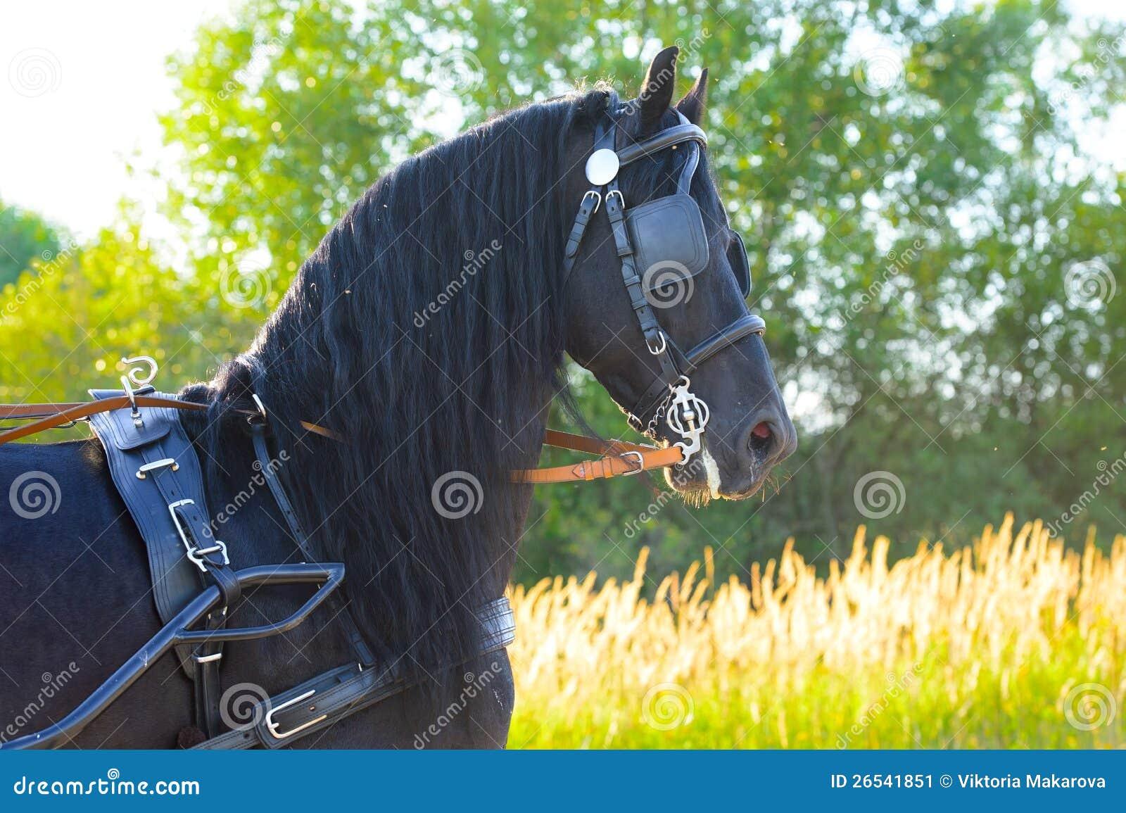 Черная лошадь Friesian в проводке в заходе солнца