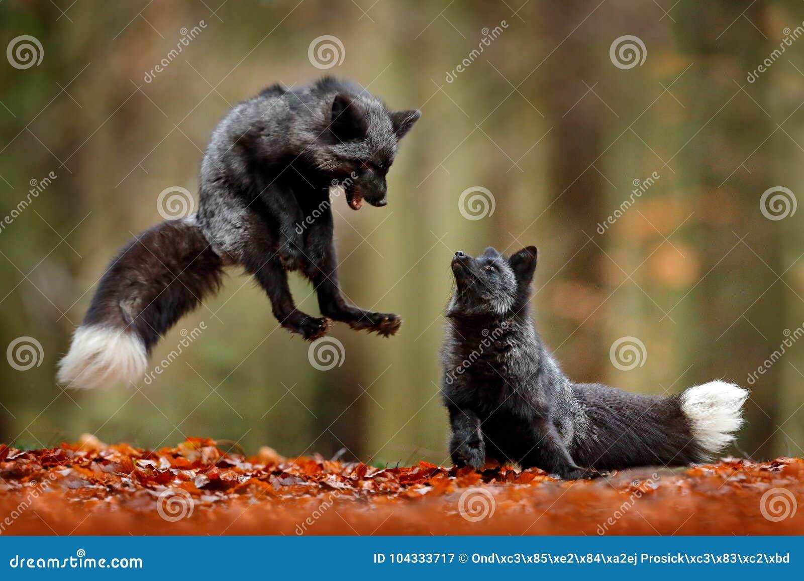 Черная серебряная лиса Красная лиса 2 играя в лесе осени животном скачет в древесину падения Сцена живой природы от троповой одич