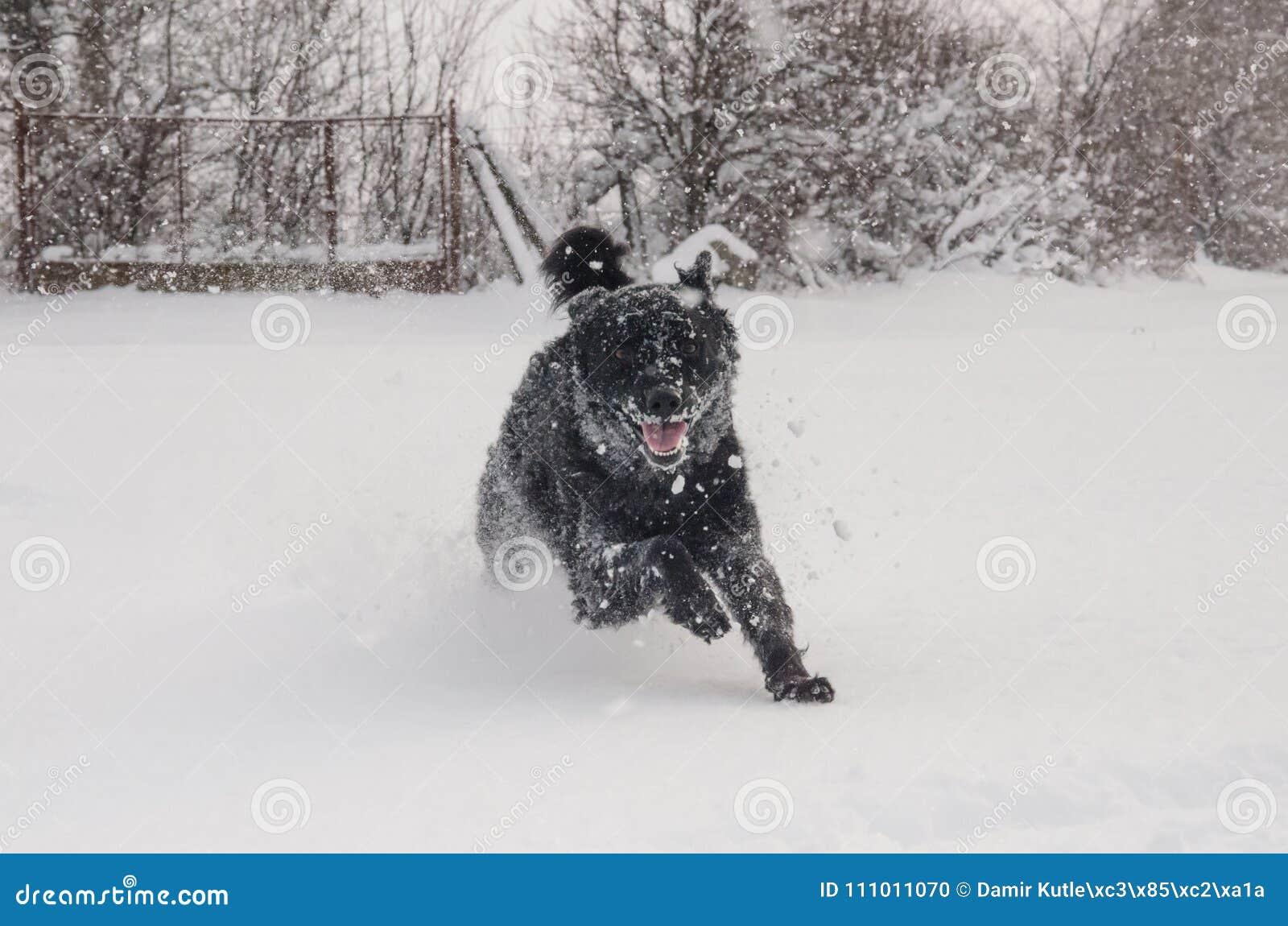 Черная собака в снеге