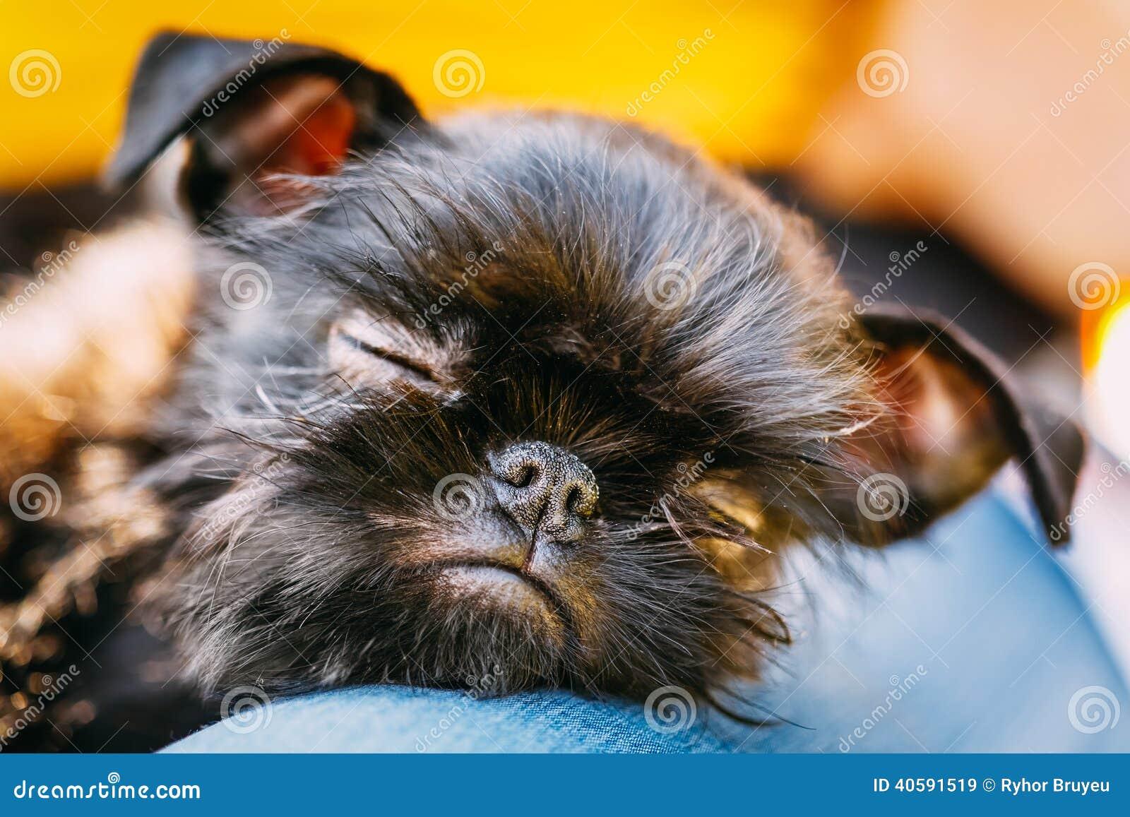 Черная собака Griffon Bruxellois (Брюссель, Belge)