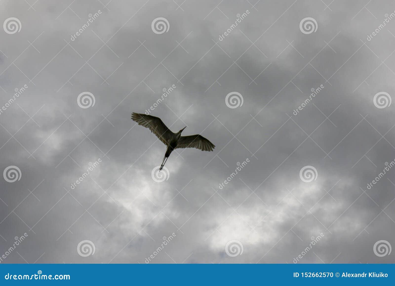Черная увенчанная цапля ночи в полете под серый nycticorax Nycticorax облачного неба