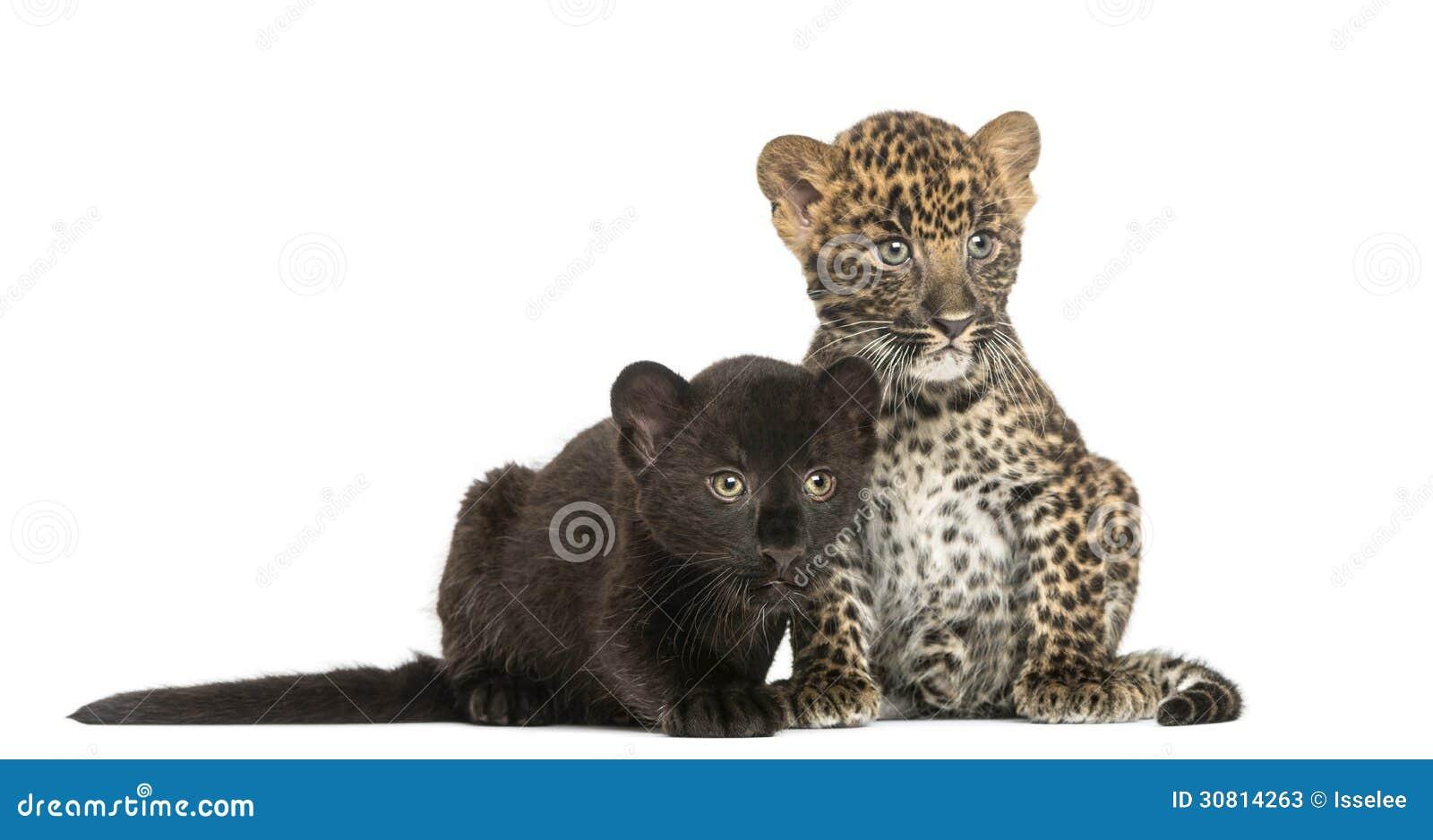2 черное и запятнанный леопард cubs сидеть и лежать