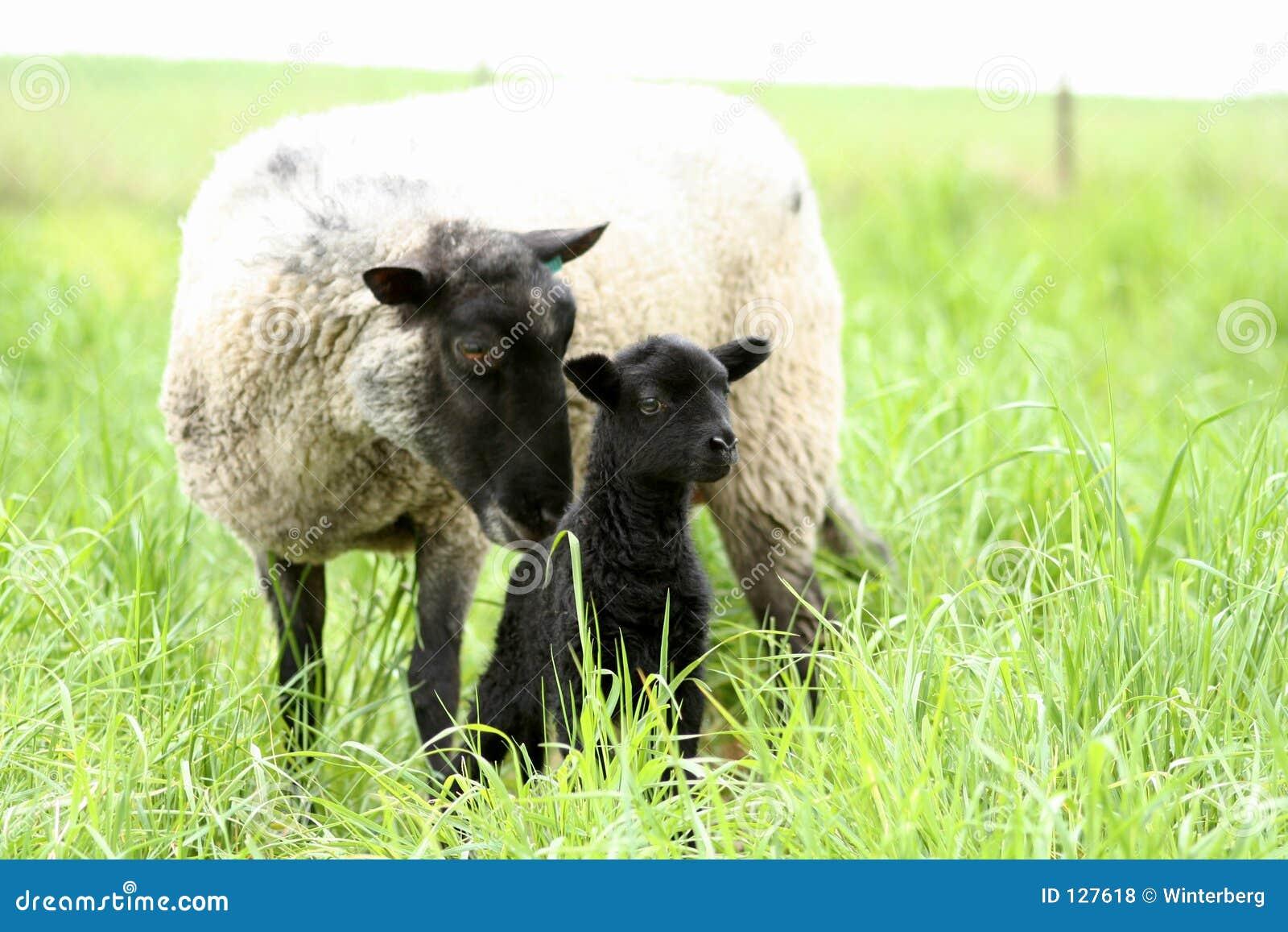 чернота младенца свои овцы мати
