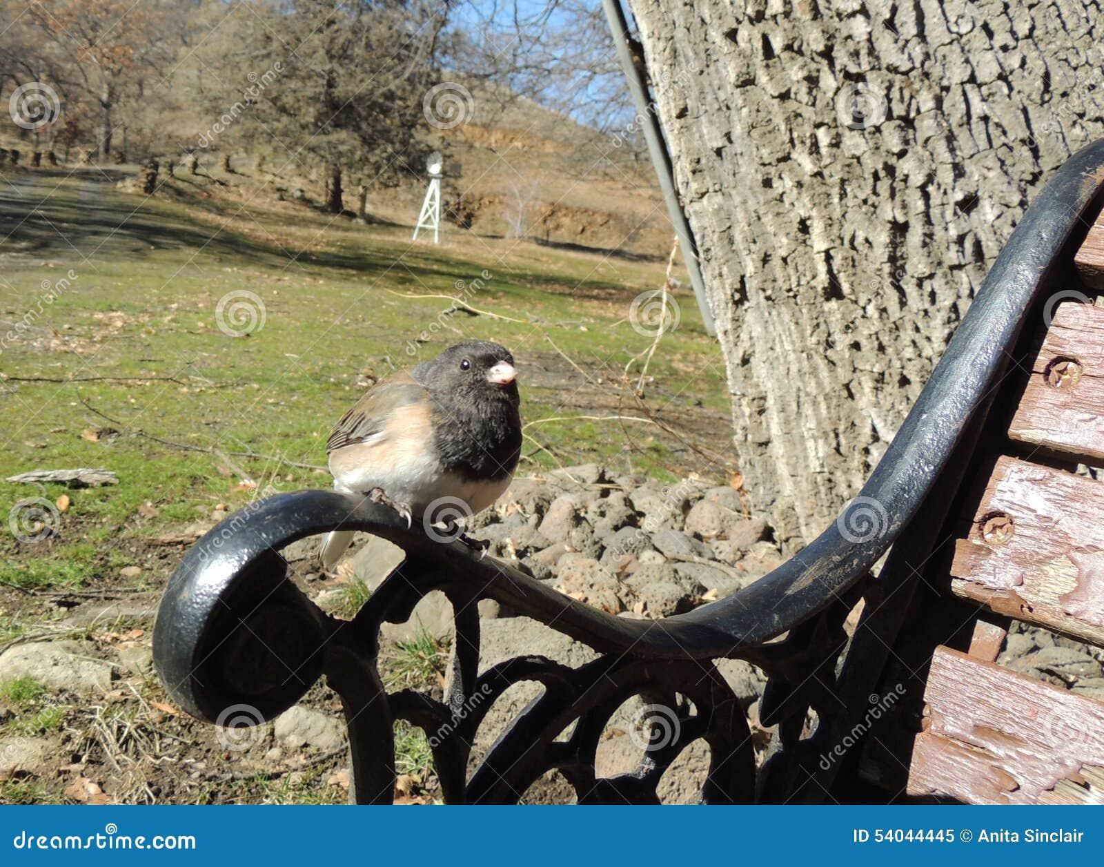 Чернота Орегона наблюдала окуни птицы junco на руке скамейки в парке
