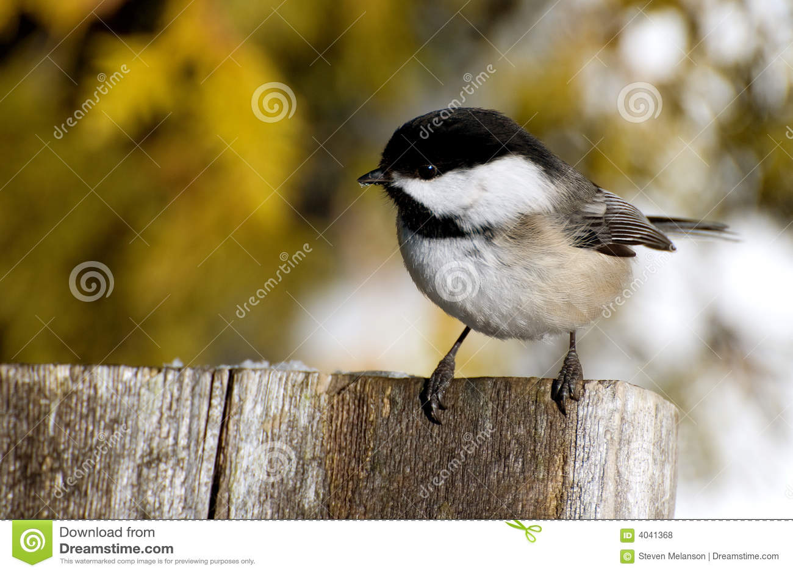 чернота покрыла chickadee
