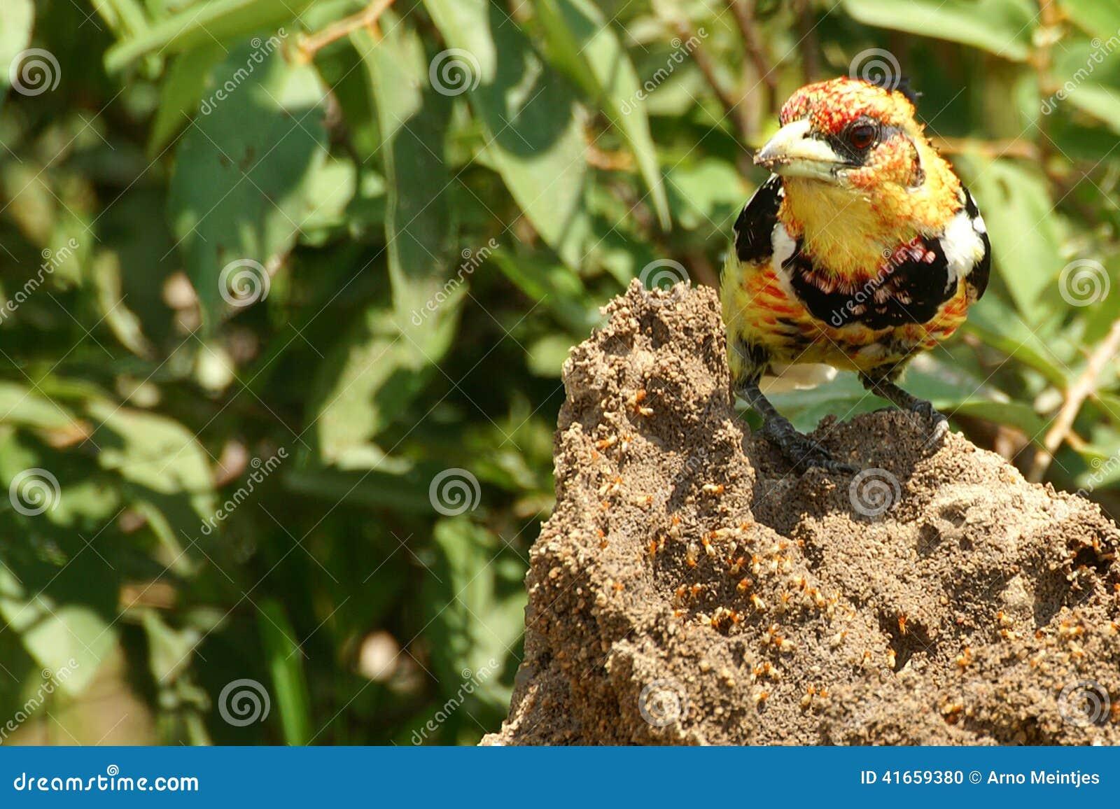 чернота barbet collared torquatus lybius