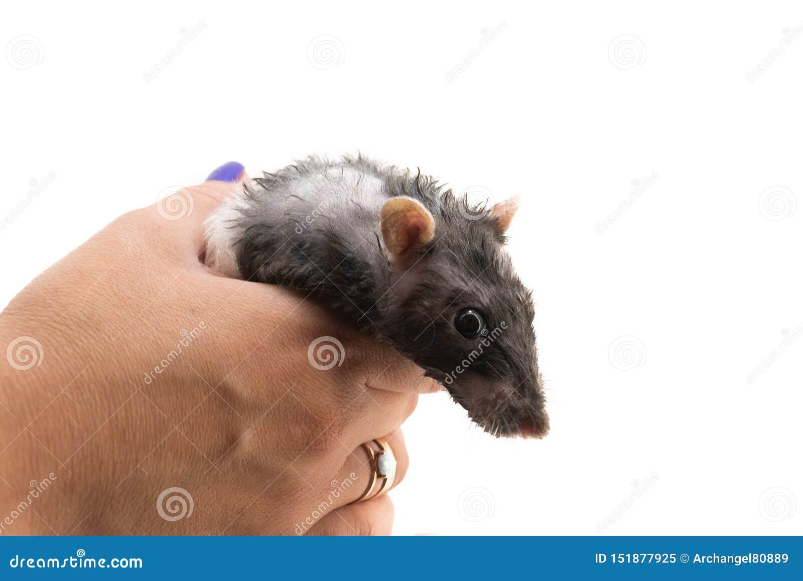 Черно-белая декоративная крыса после купать на его руках, на белой предпосылке