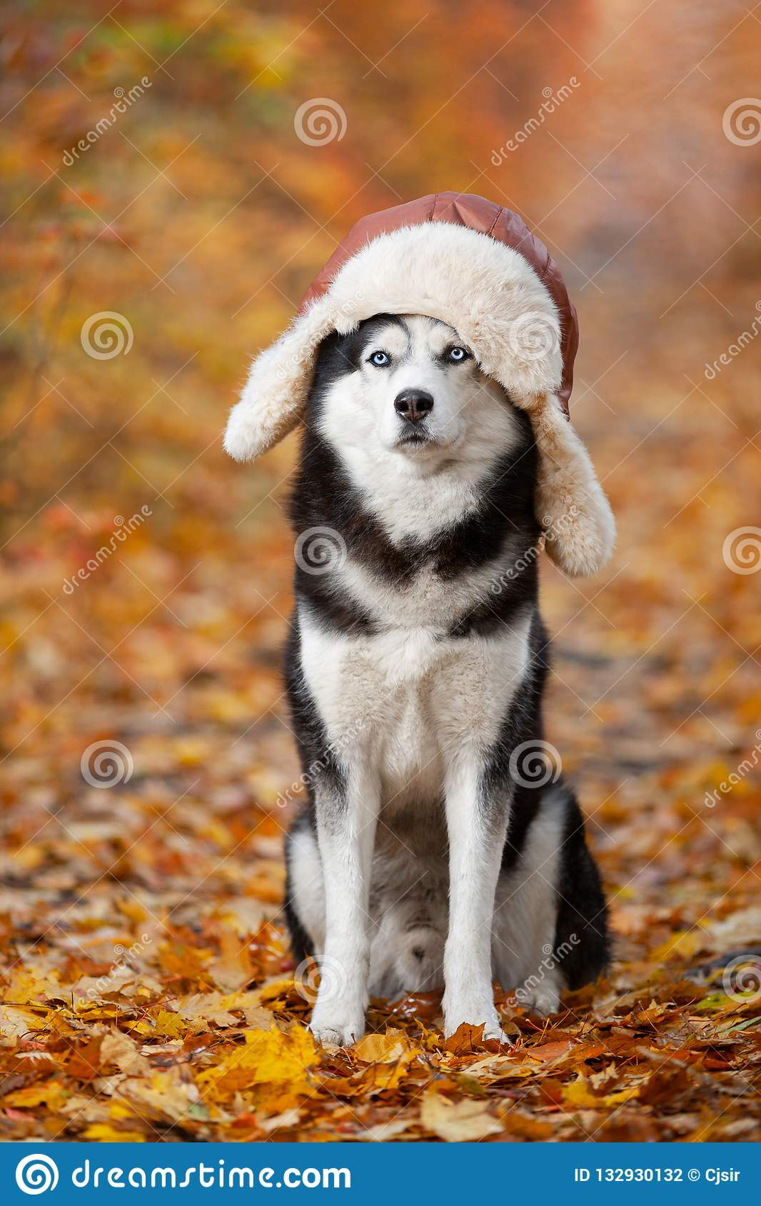 Черно-белая сибирская сиплая собака в шляпе с earflaps сидя в желтых листьях осени