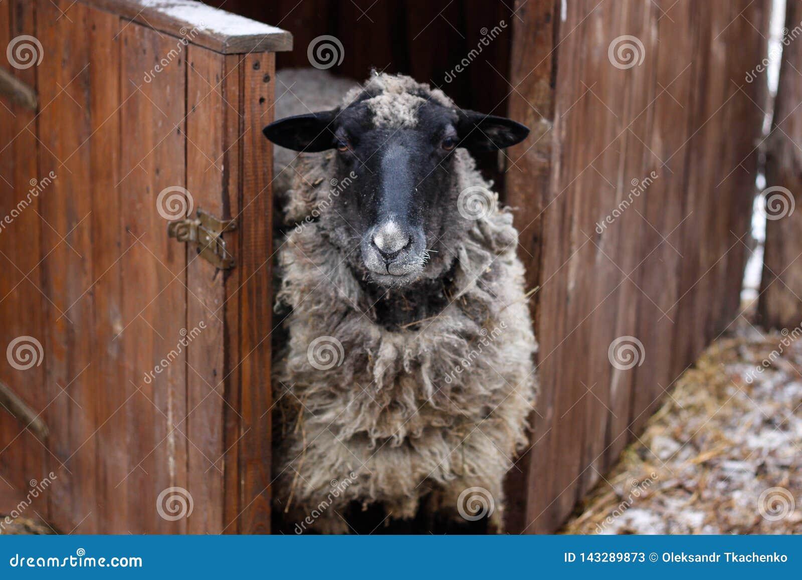Черно-белые овцы около амбара