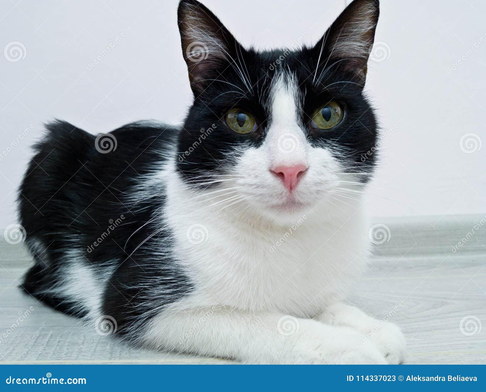 Черно-белый кот отрочества лежит в комнате перед белой стеной Ищущ мастер любознательный взгляд, наблюдая