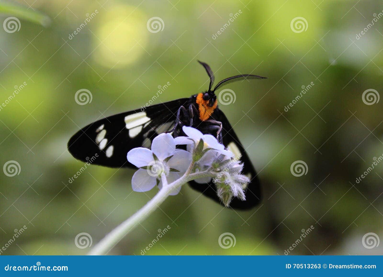 Черно-белая сумеречница на цветках