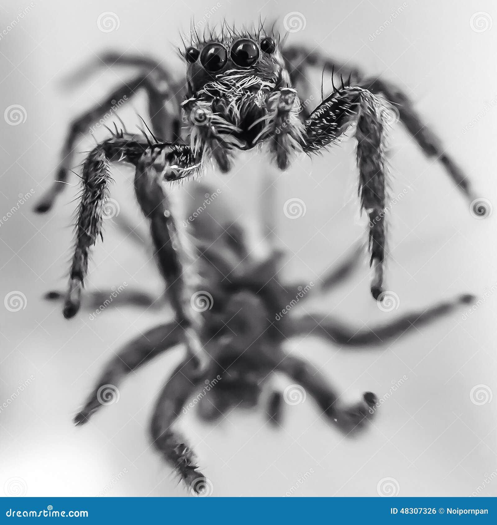 черно-белый паук фото
