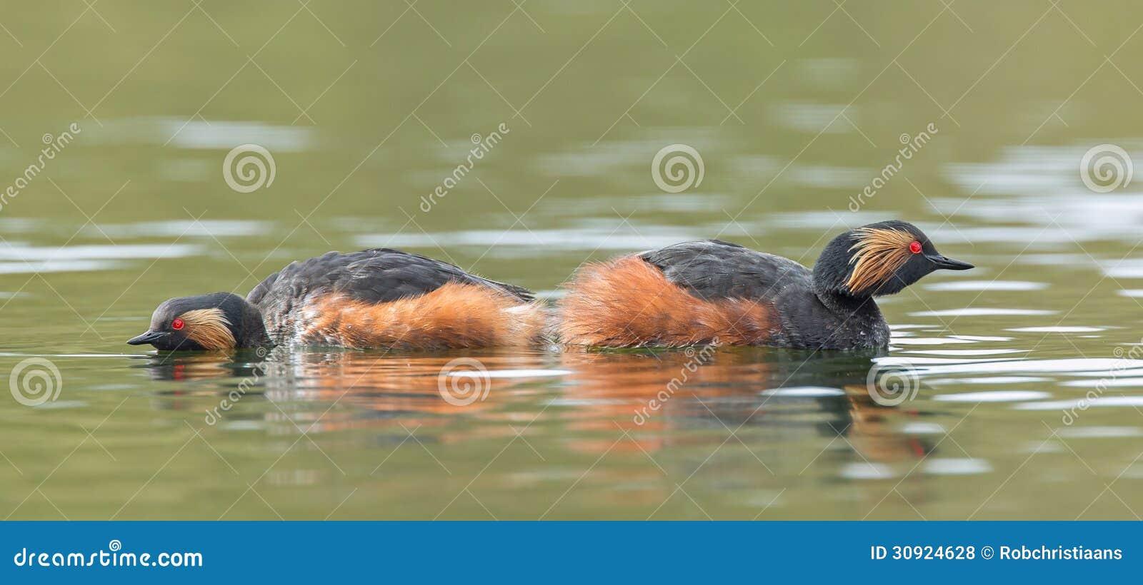 Черно-necked поганковые