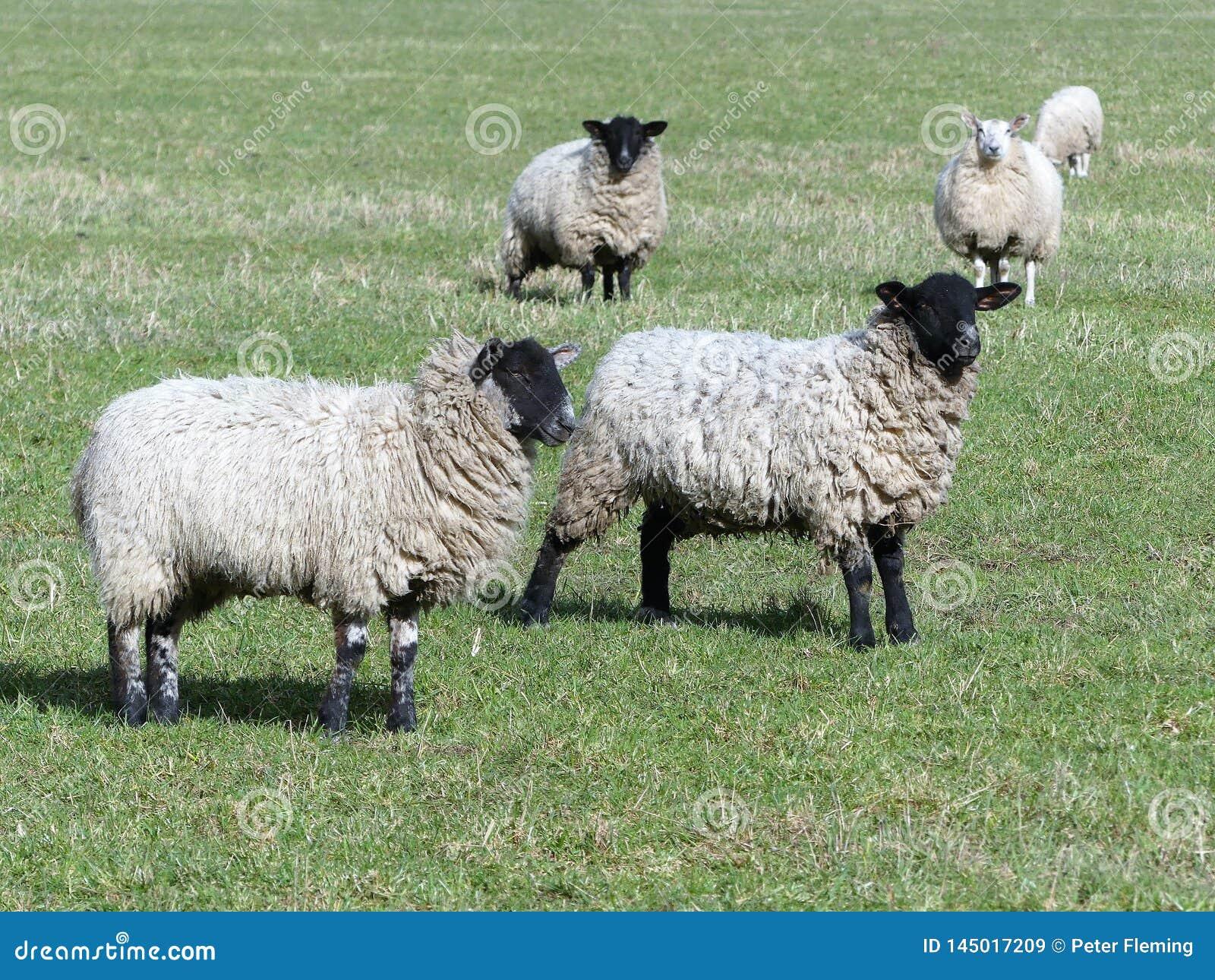 Черные возглавленные овцы в зеленом выгоне
