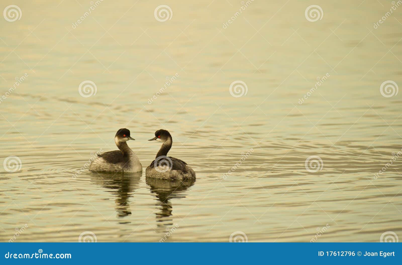 черные grebes пар necked