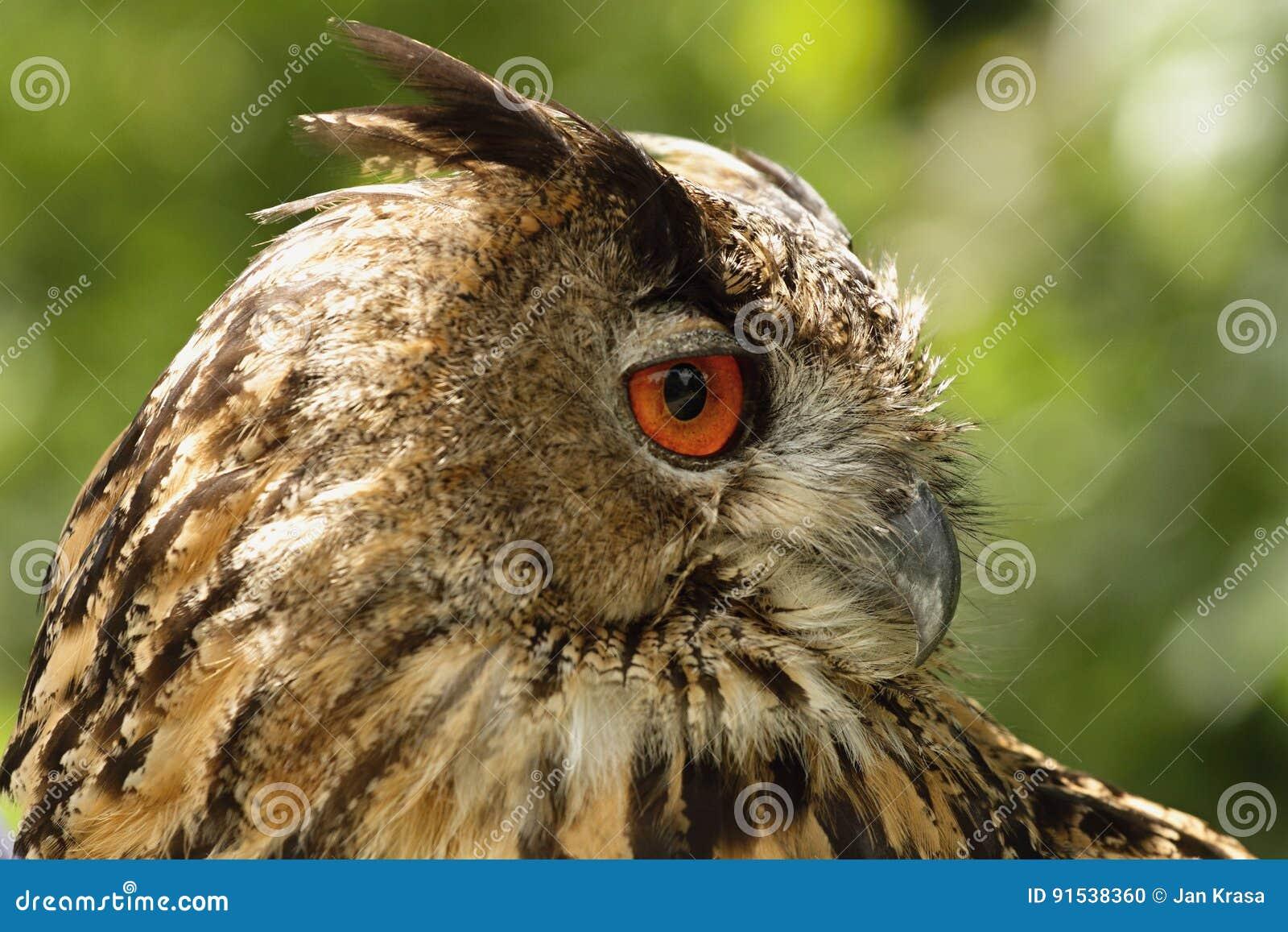 черный вектор сыча чернил иллюстрации орла чертежа