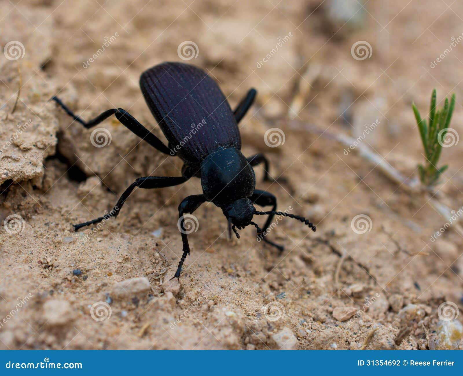 фото черный жук
