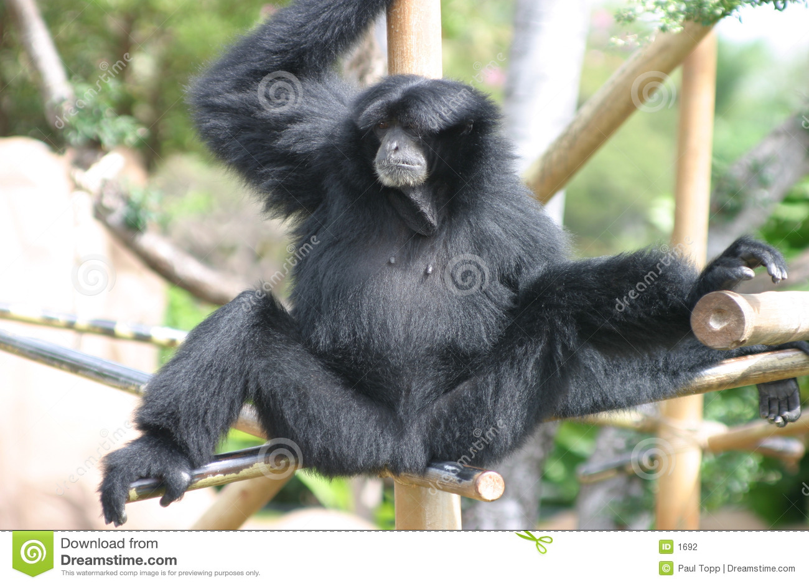 черный звеец обезьяны gibbon
