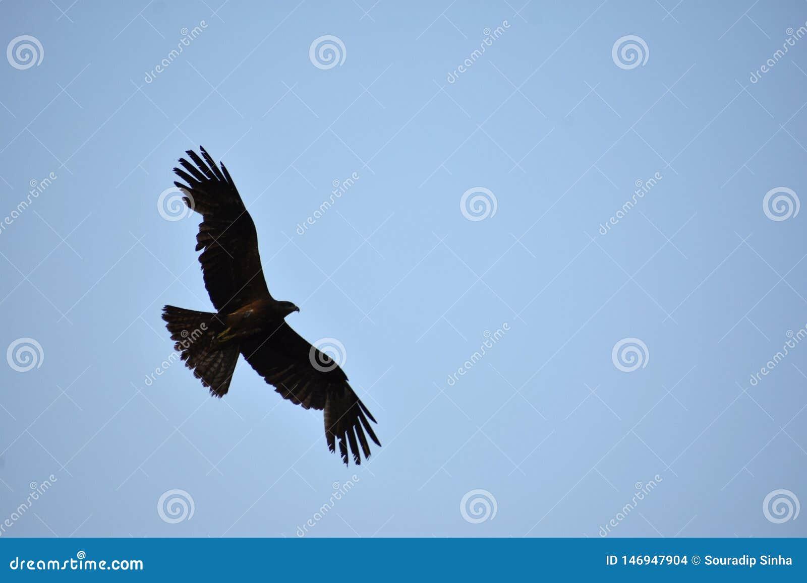 Черный индийский змей - свободная птица в крыльях неба красивых