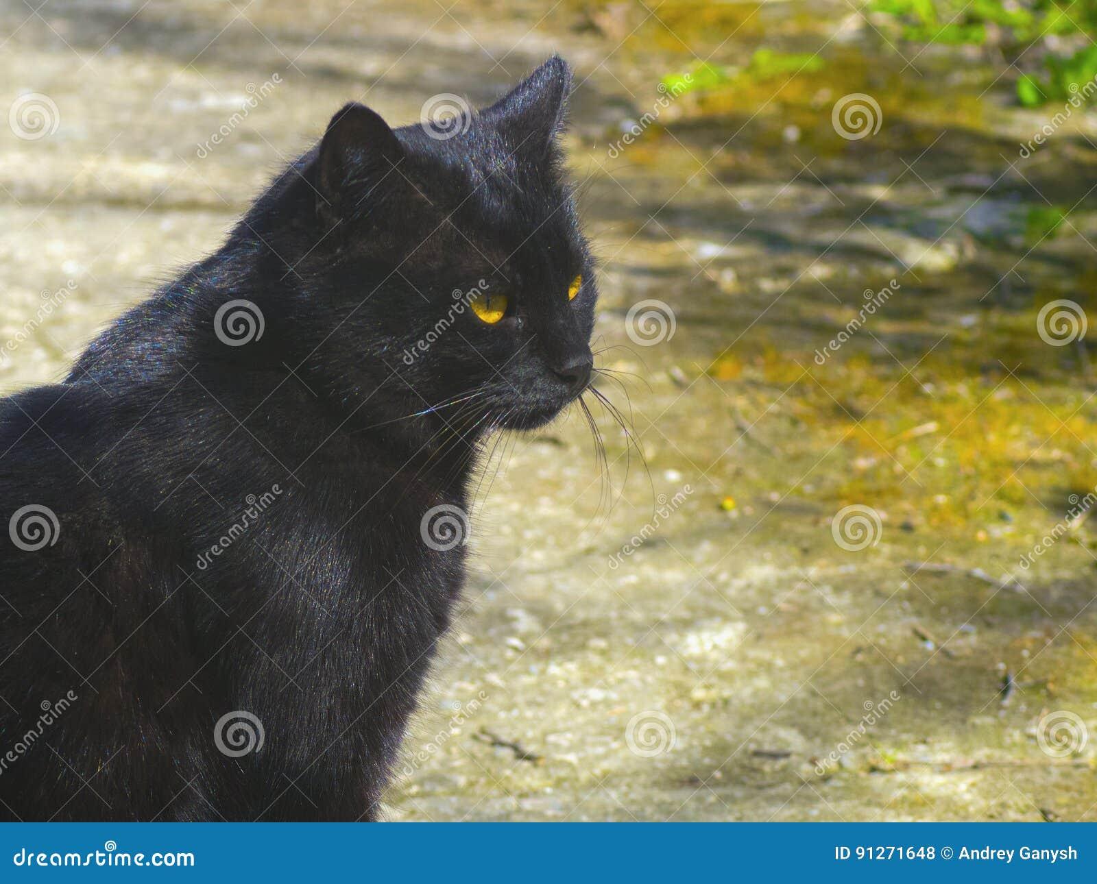 Черный кот смотря где-то в расстоянии