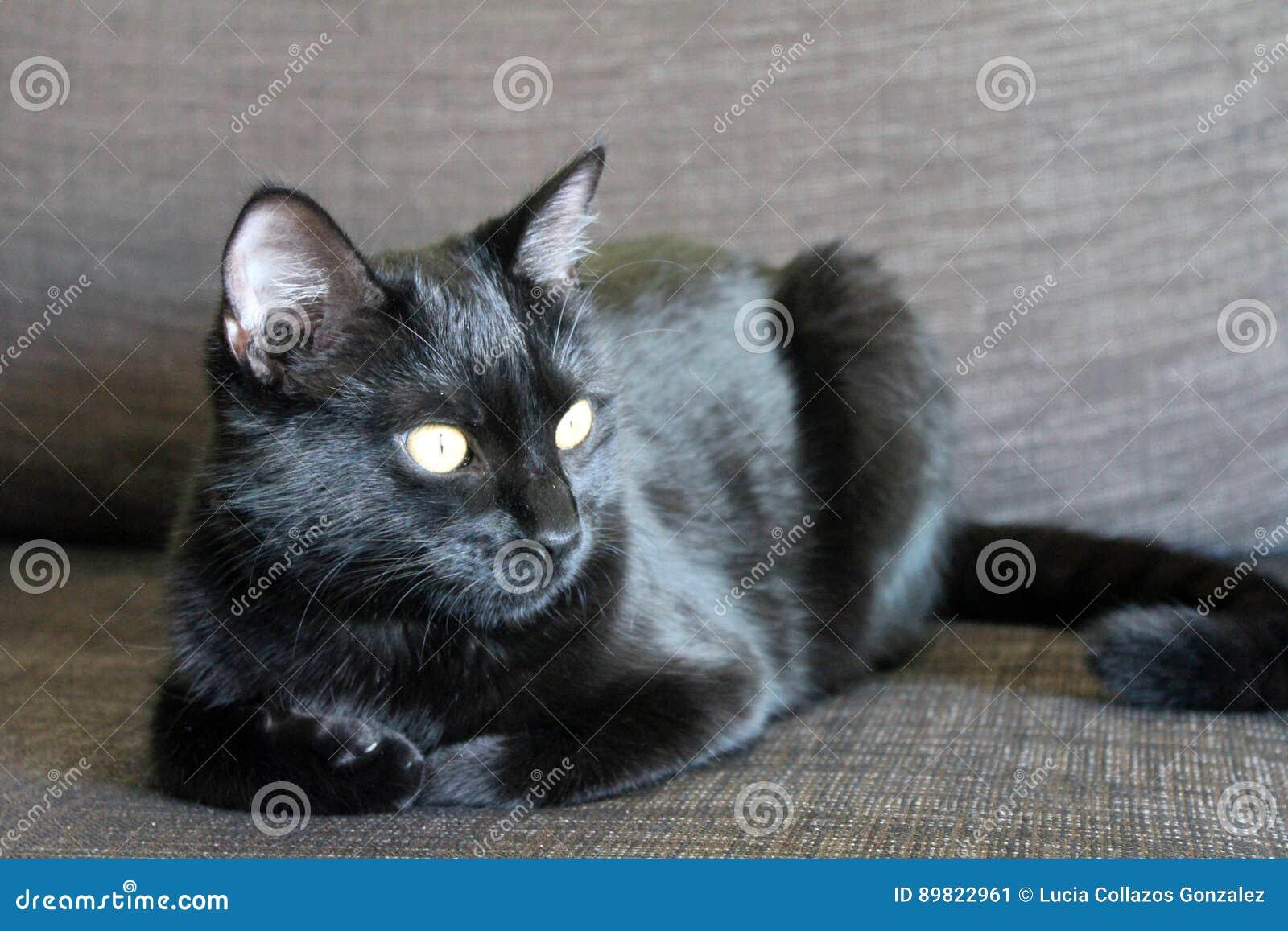 Черный кот с желтым цветом наблюдает лежать на софе