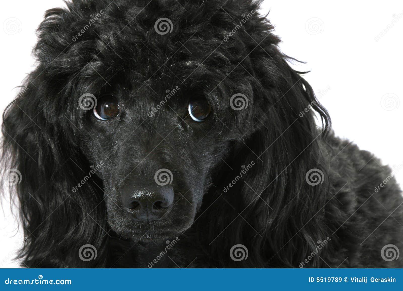 черный малый пудель фото
