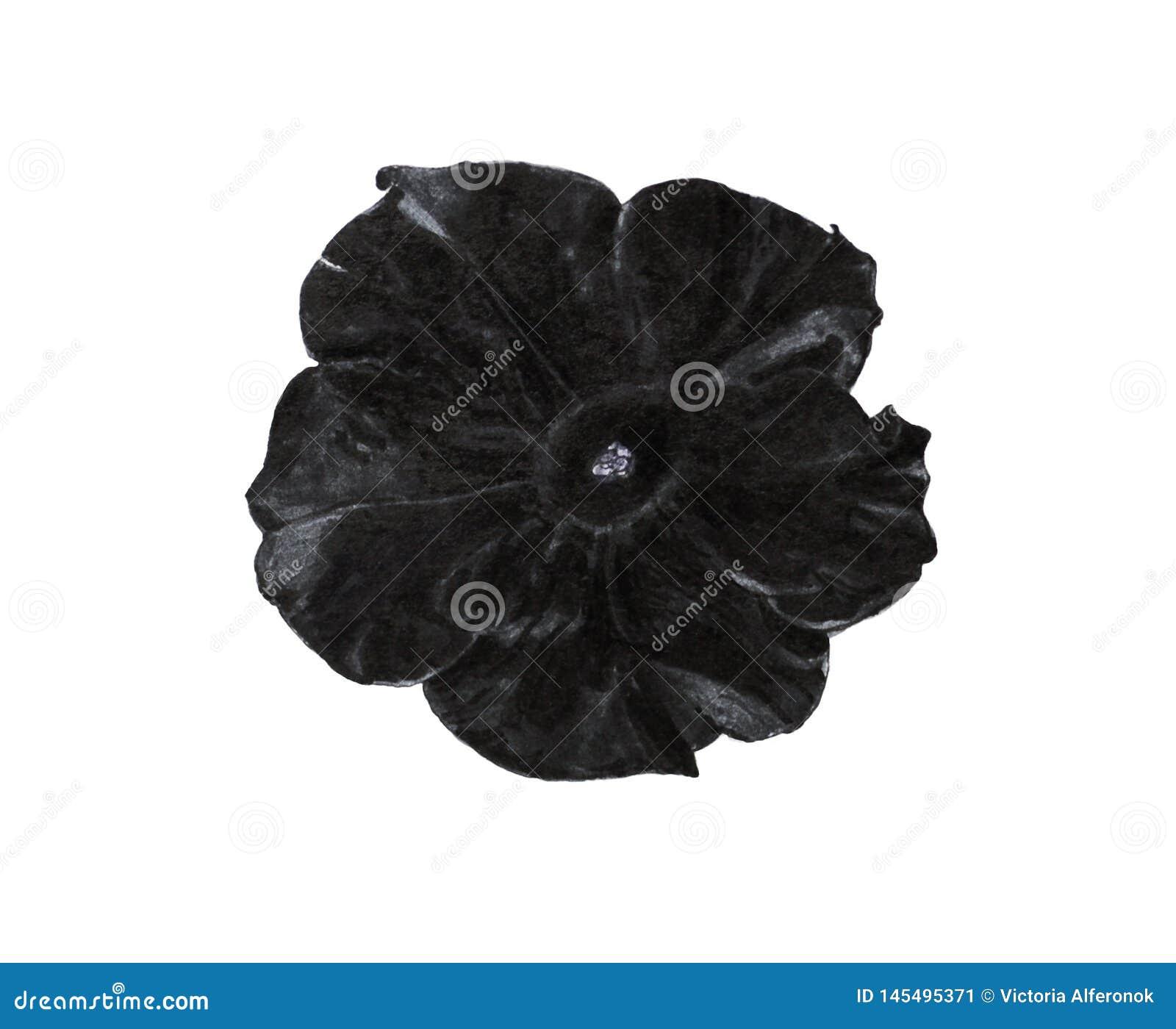 Черный цветок петуньи