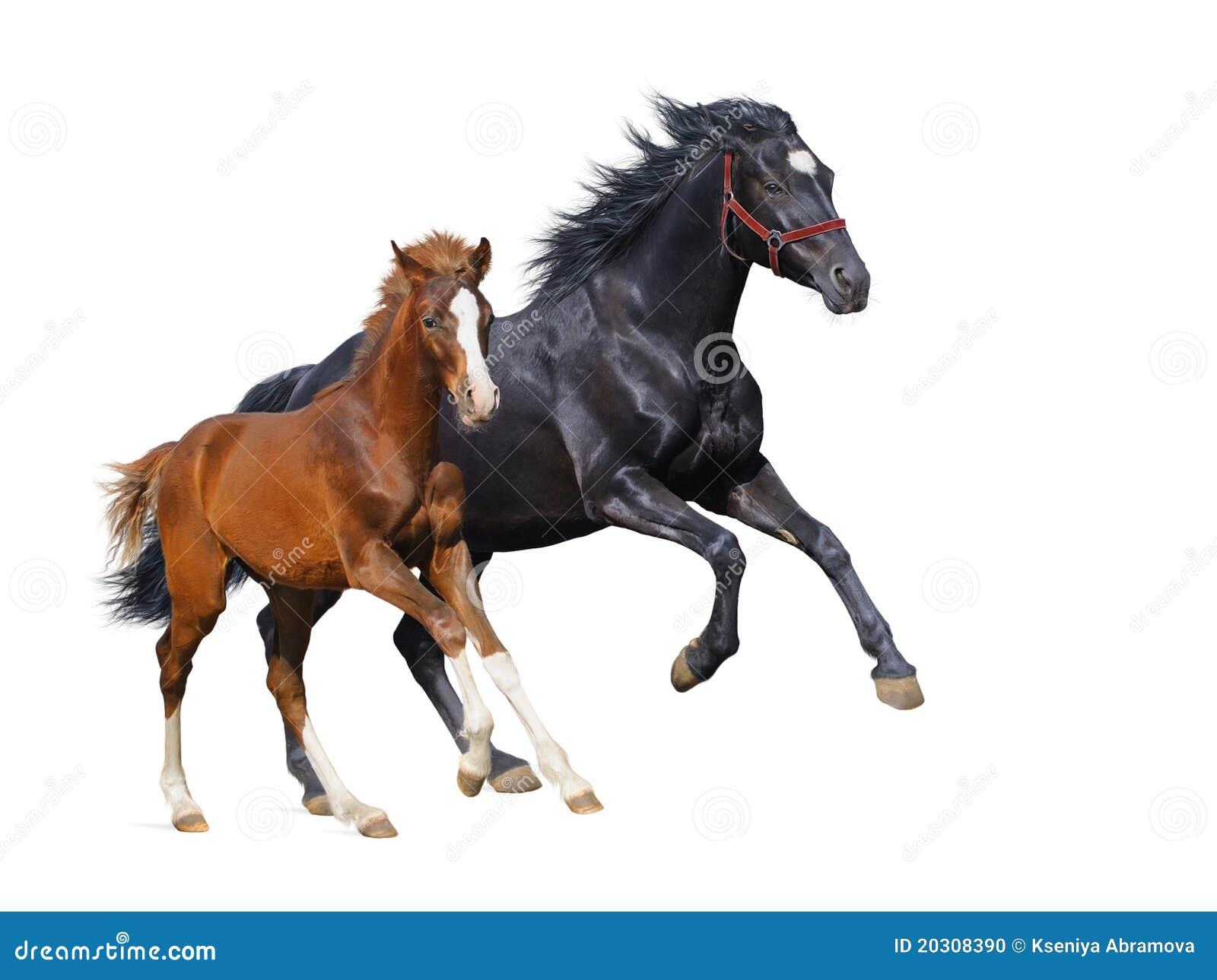 черный щавель конематки gallop осленка