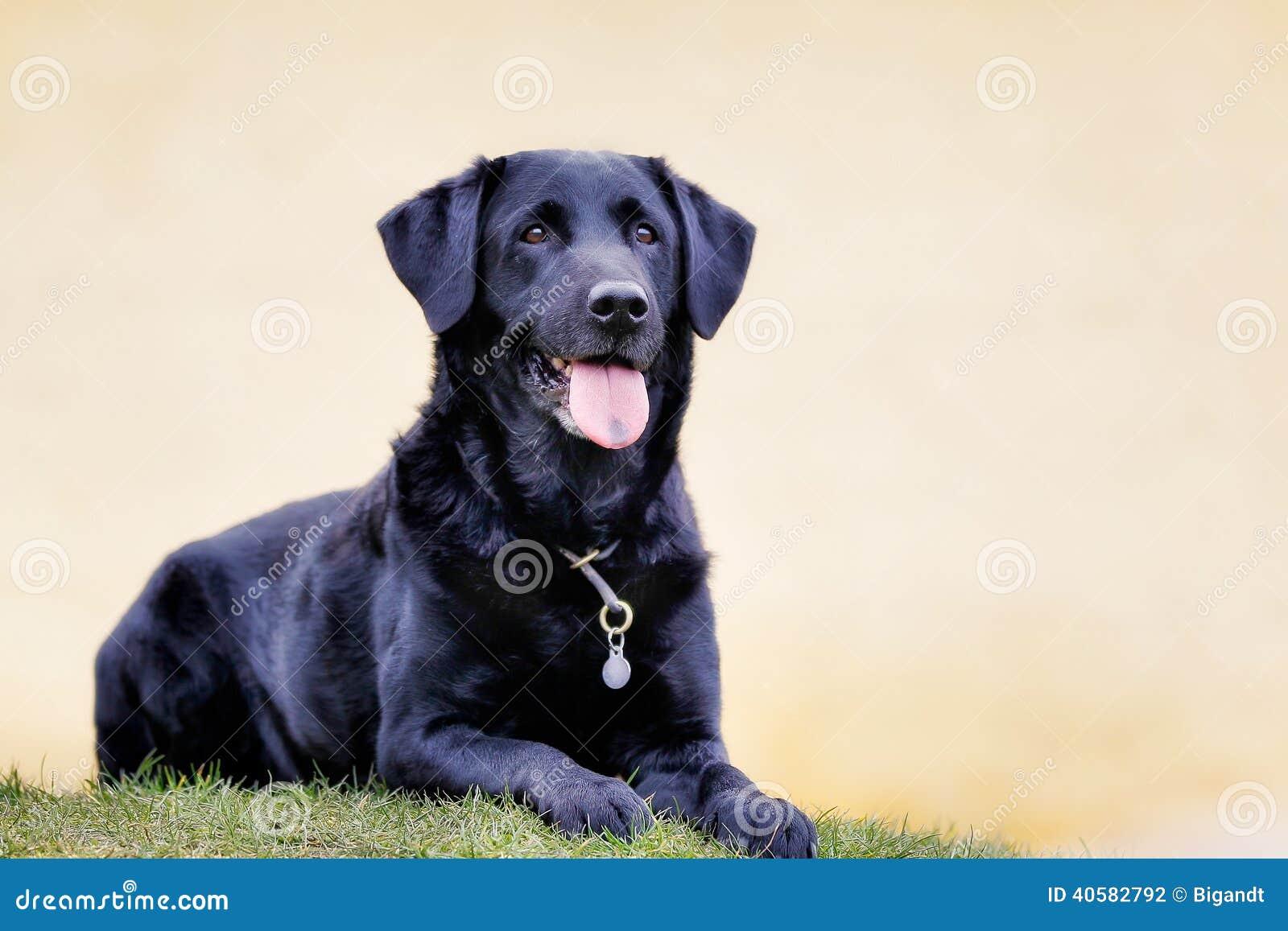 черный retriever labrador