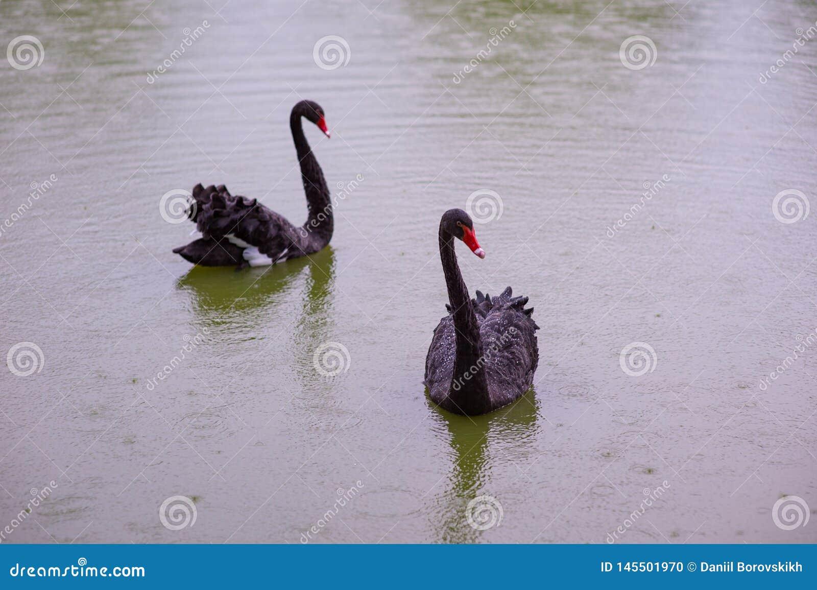 2 черных лебедя в пруде